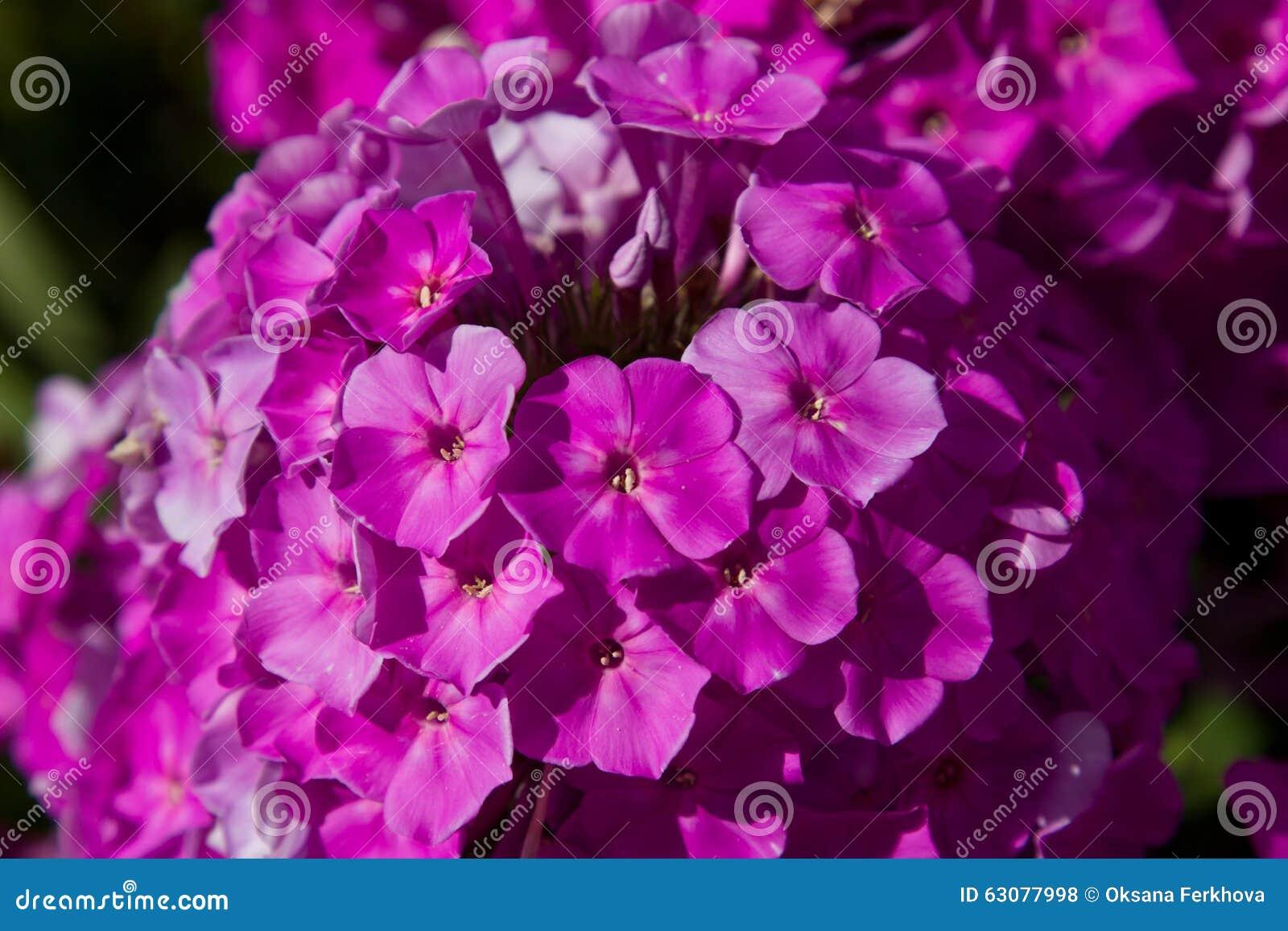 Download Phlox photo stock. Image du jardin, herbes, été, nature - 63077998