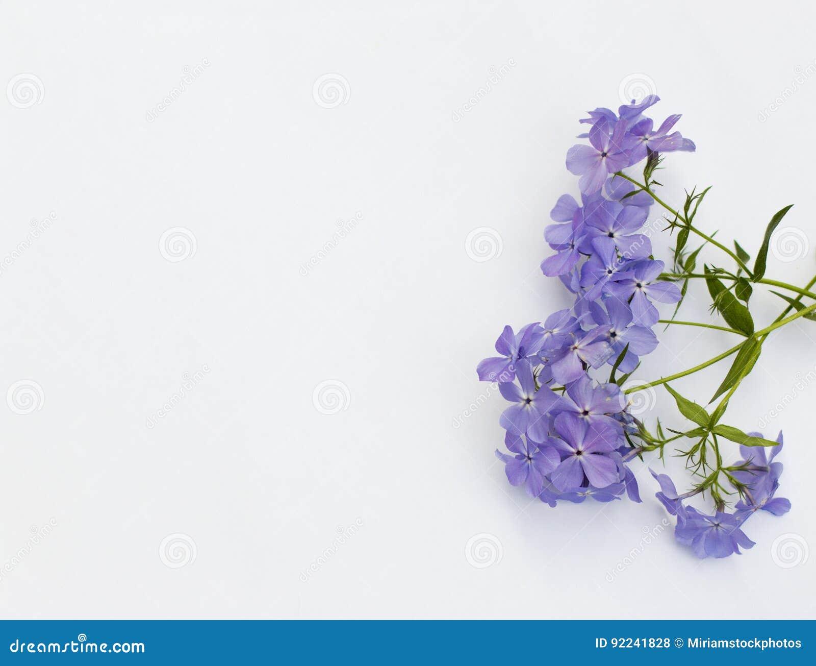 Phlox Blue Moon Flowers Stock Photo Image Of Bouquet 92241828