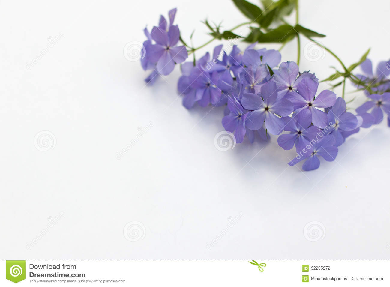 Phlox blue moon flowers on white background stock photo image of download phlox blue moon flowers on white background stock photo image of white color izmirmasajfo