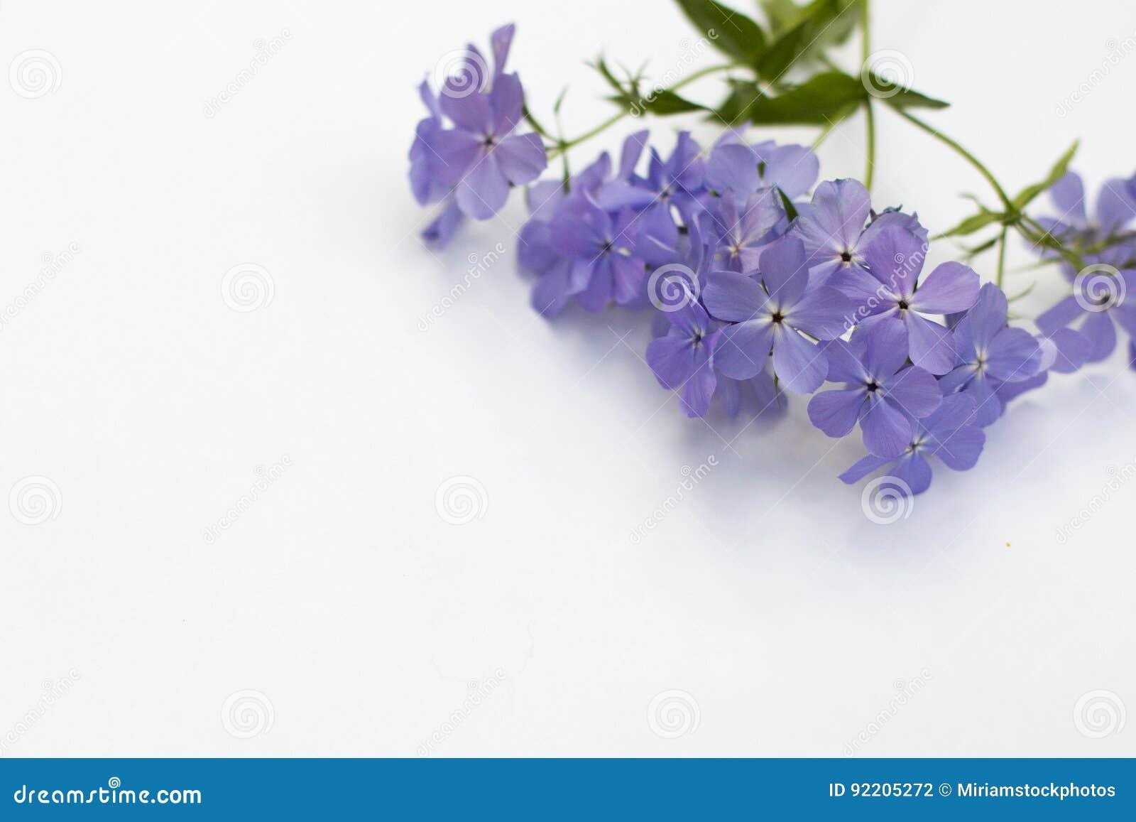 Phlox Blue Moon Flowers On White Background Stock Photo Image Of