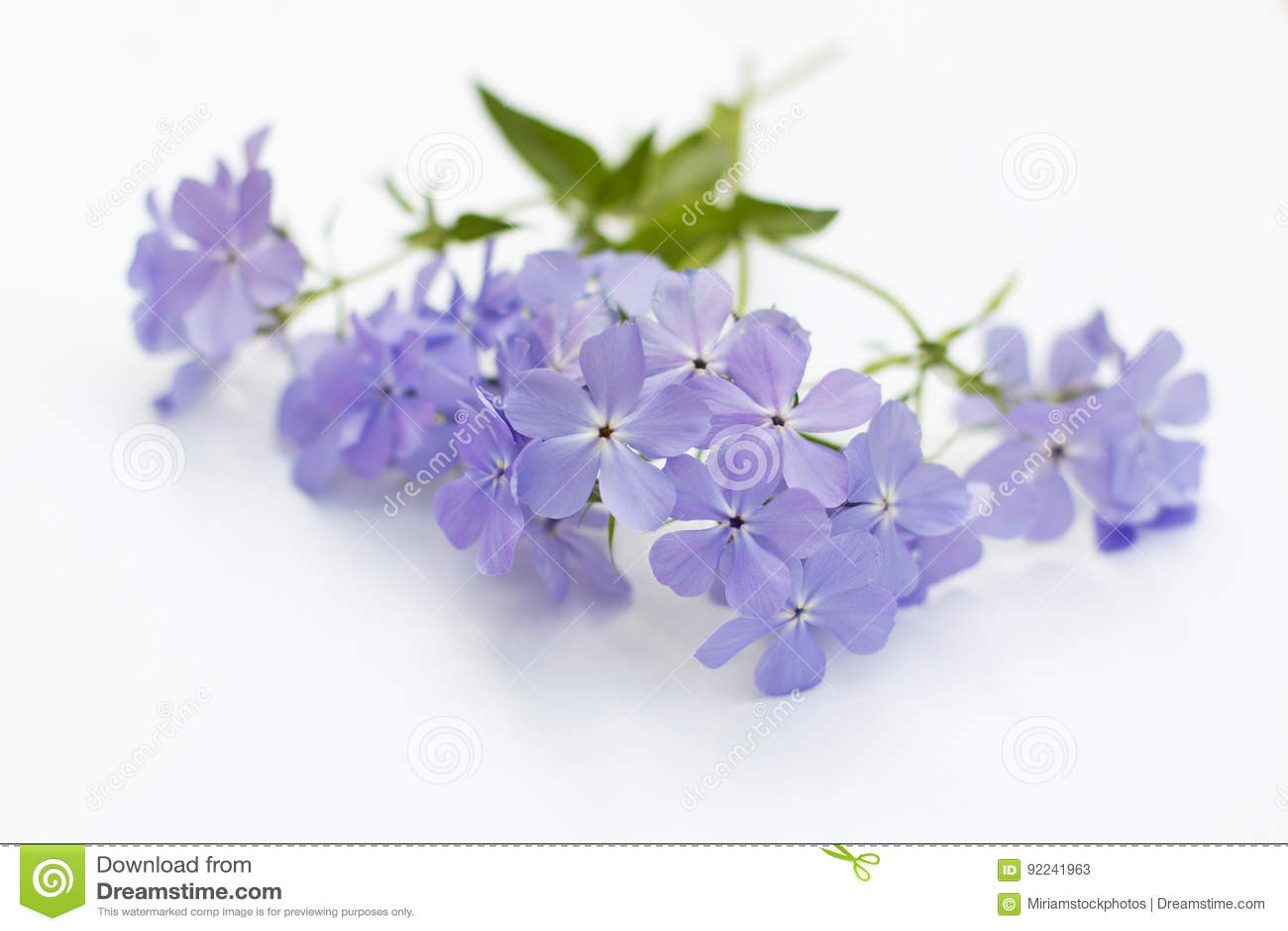 Phlox Blue Moon Flowers On White Background Stock Image Image Of