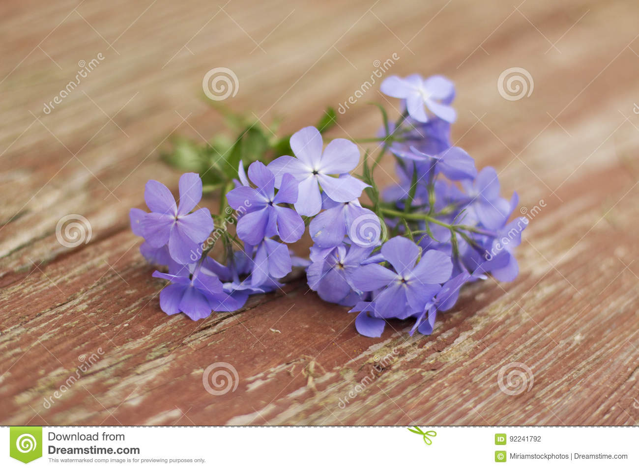 Phlox Blue Moon Flowers On Wooden Background Stock Photo Image Of