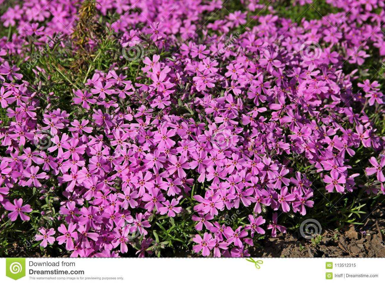Phlox Groundcover Stock Image Image Of Colorful Bloom 113512315