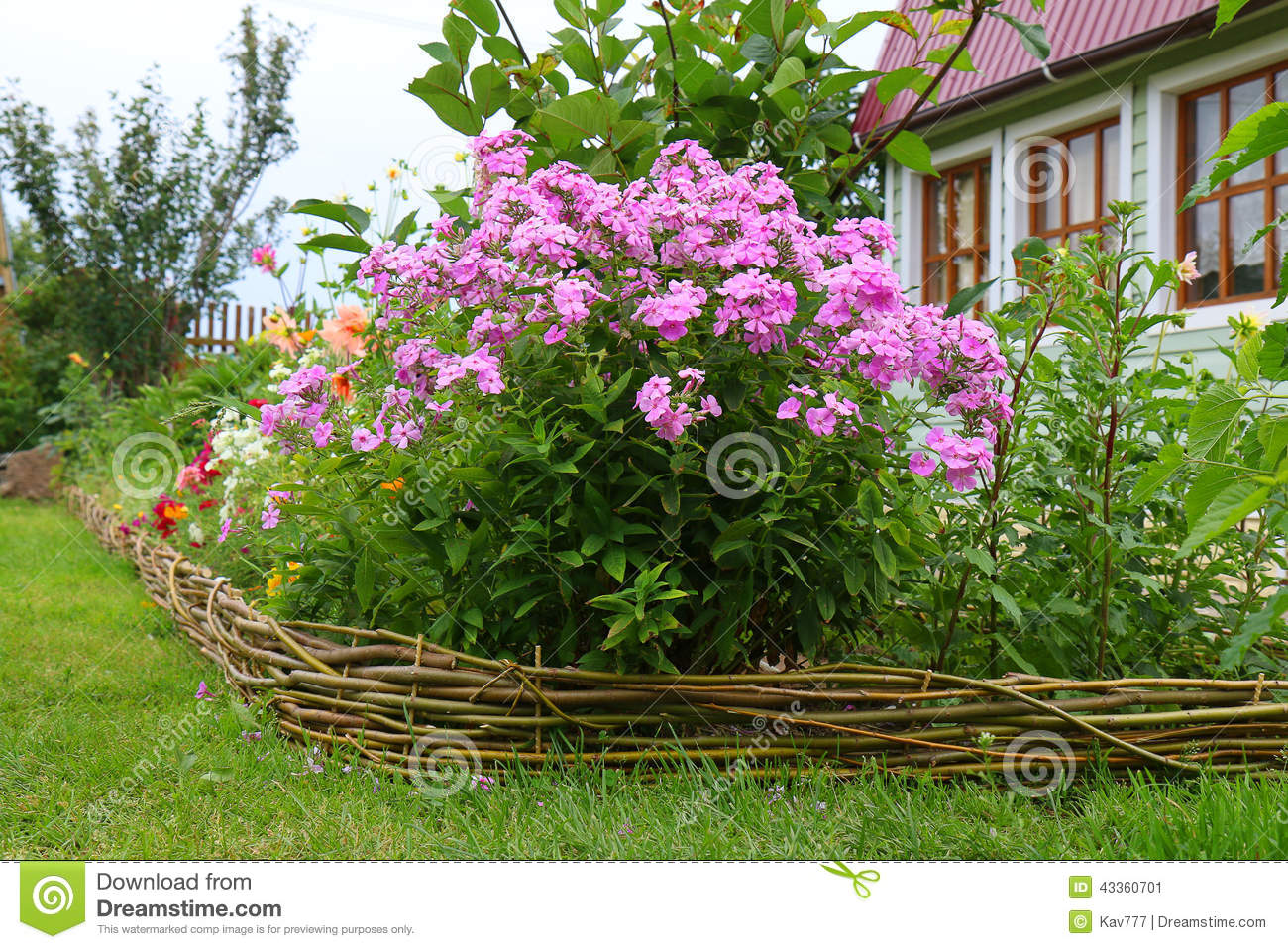 phlox paniculata in bloom stock image image of outdoor 43360701. Black Bedroom Furniture Sets. Home Design Ideas