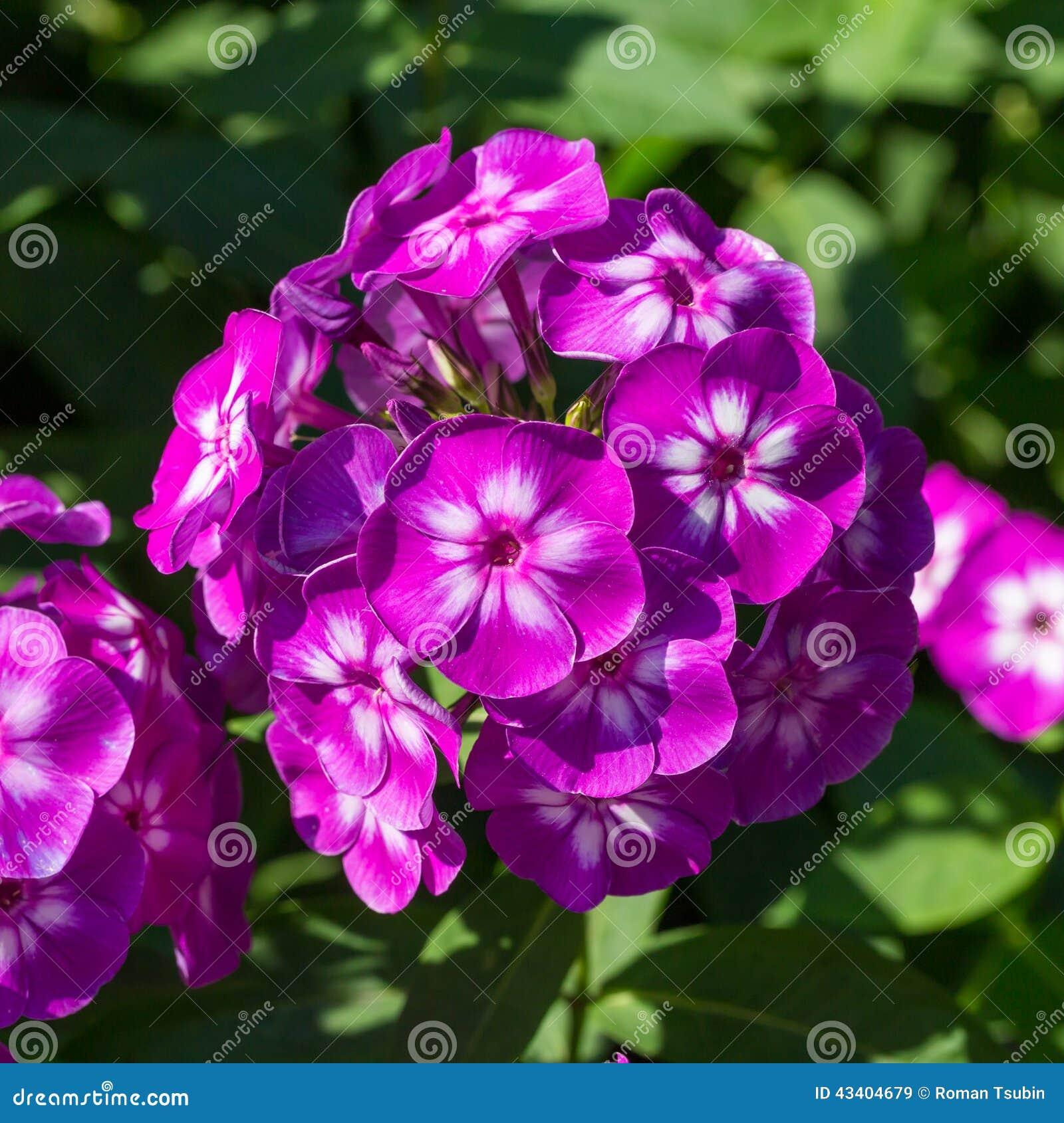 violet phlox bloom stock image 53307919. Black Bedroom Furniture Sets. Home Design Ideas