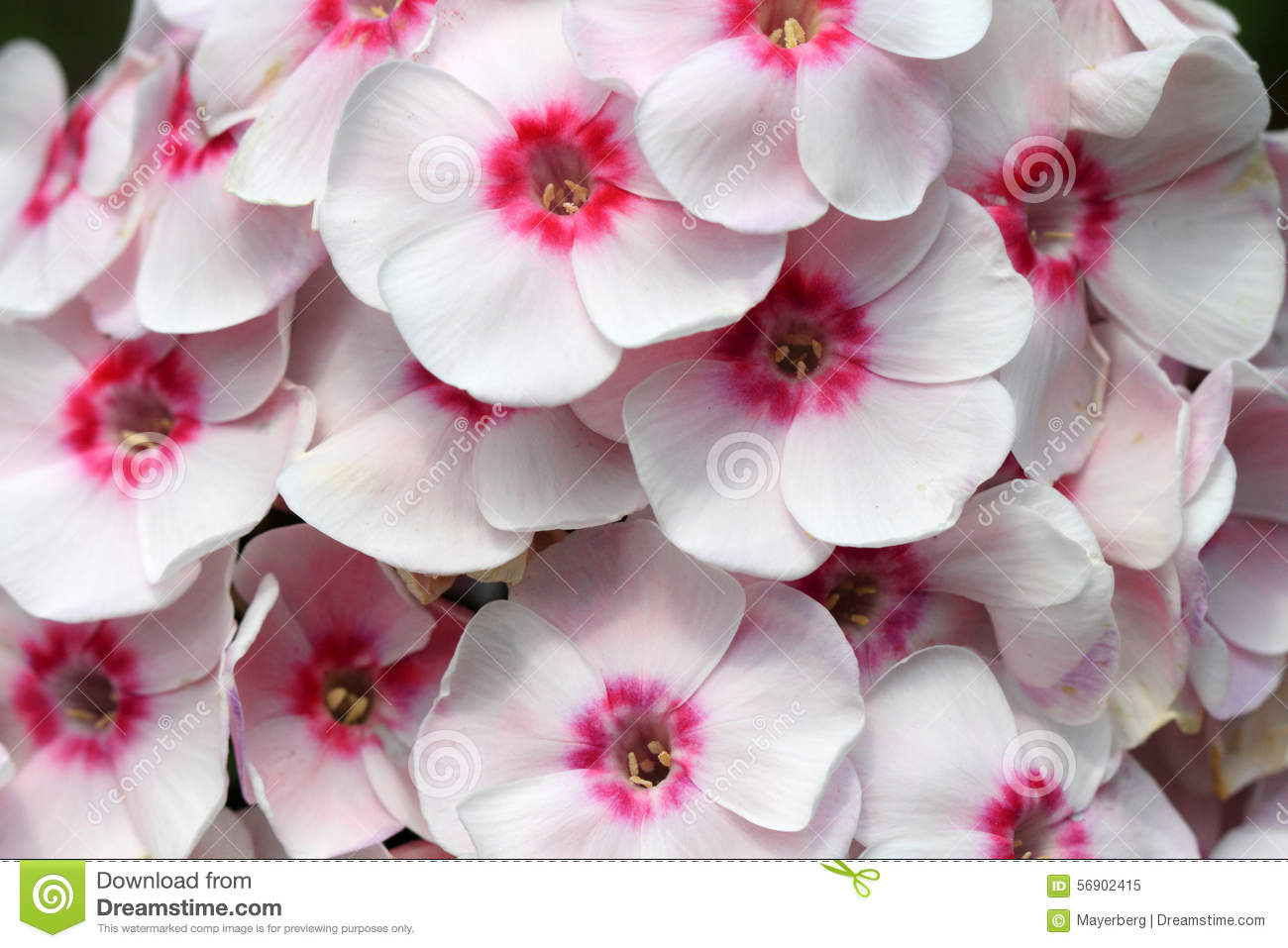 Phlox Pink Stock Image Image Of Colorful Bright Color 56902415