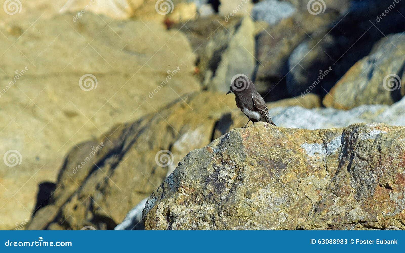 Download Phoebe Noir Sur Une Roche Au Parc De Plage De Crique De Sel En Dana Point, La Californie Image stock - Image du rivage, dana: 63088983