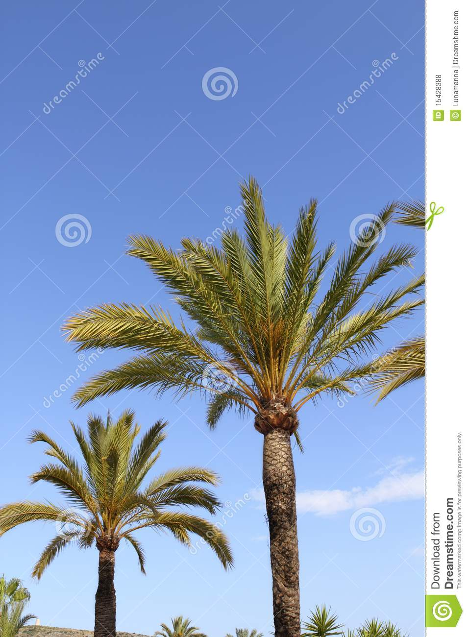 phoenix canariensis palm trees blue sky royalty free stock. Black Bedroom Furniture Sets. Home Design Ideas