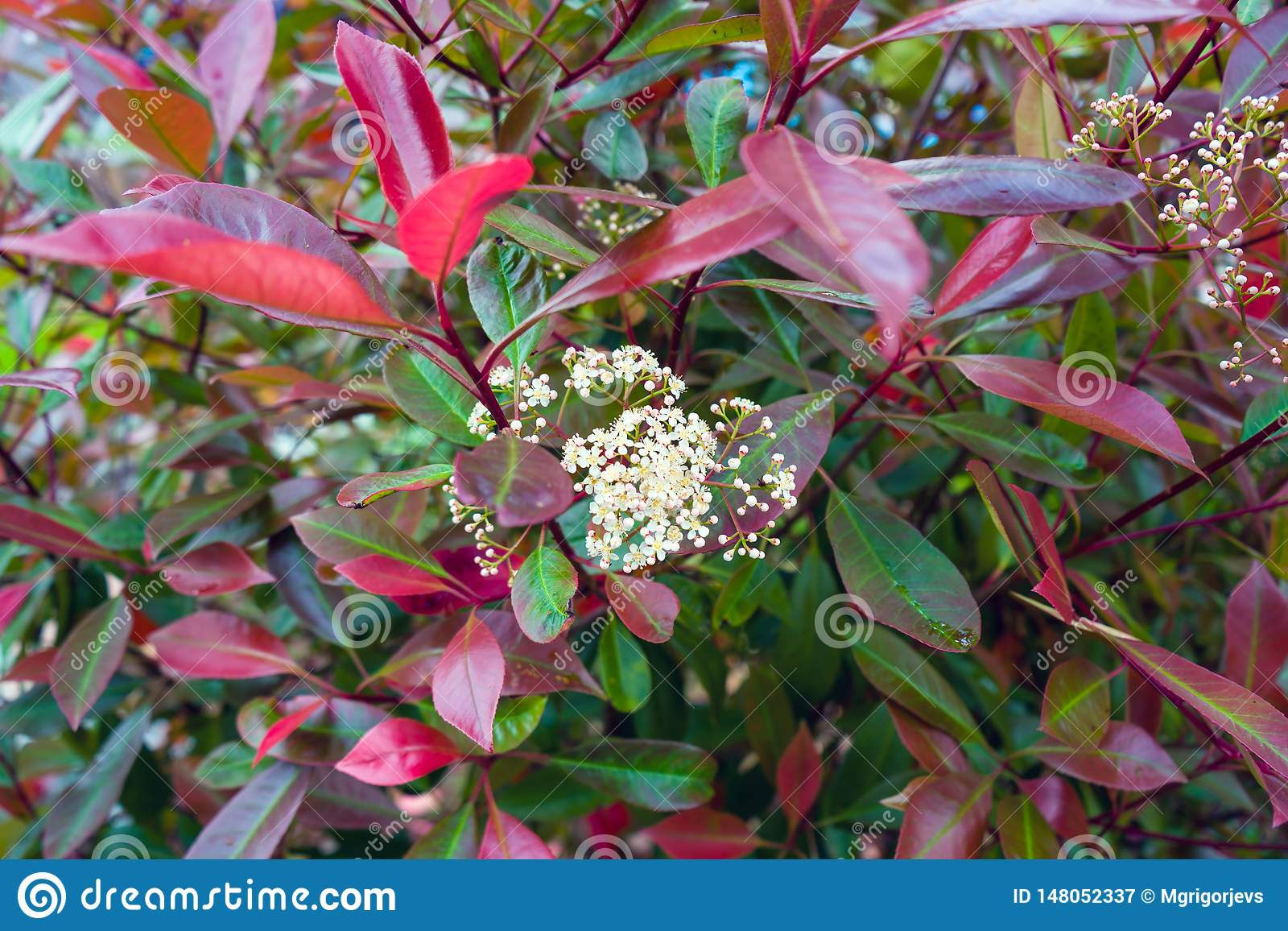 Photinia hedge with white flowers in garden