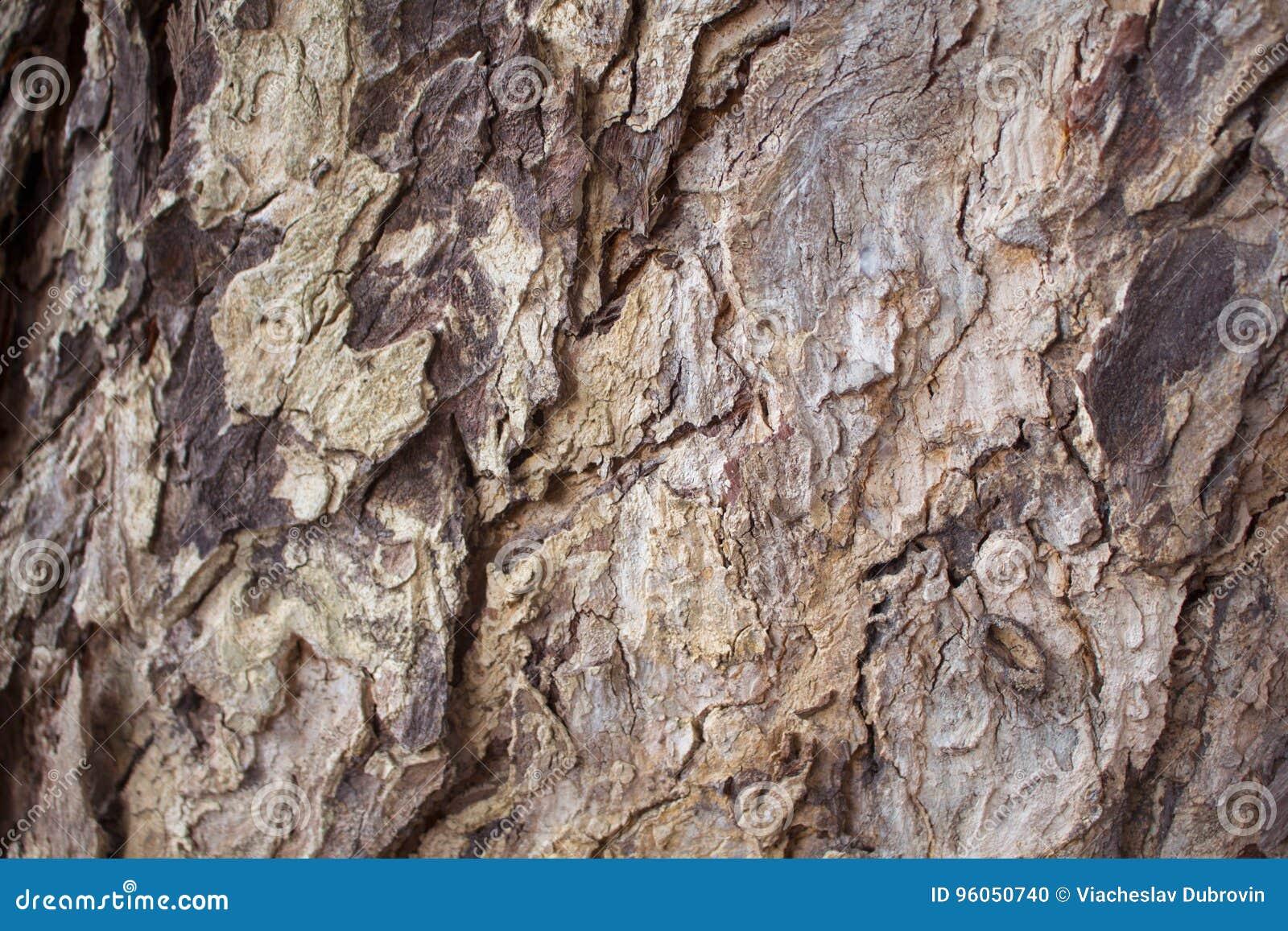 Photo âgée de texture de plan rapproché d écorce de chêne Plan rapproché rustique de tronc d arbre