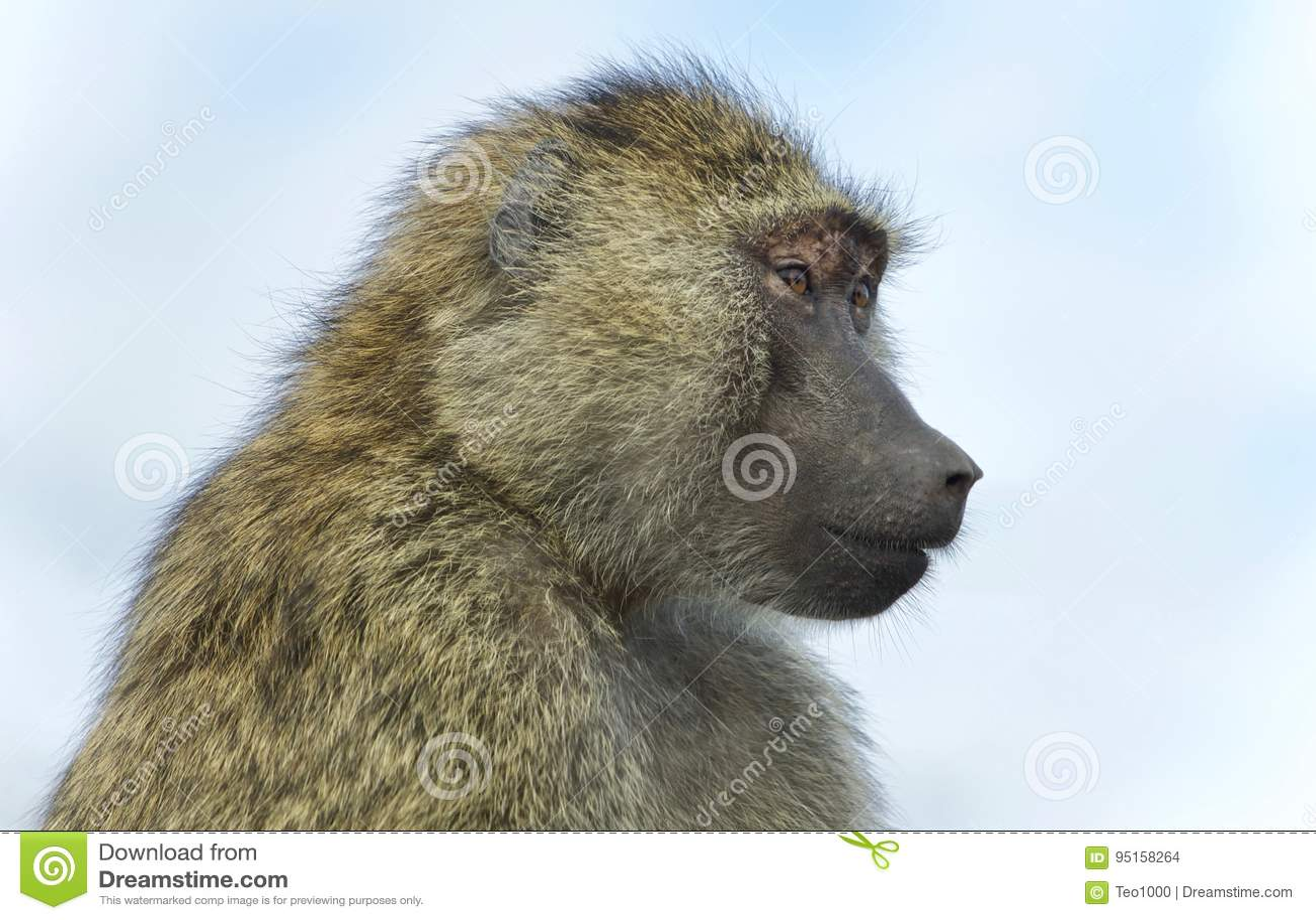 Photo avec un babouin drôle regardant de côté