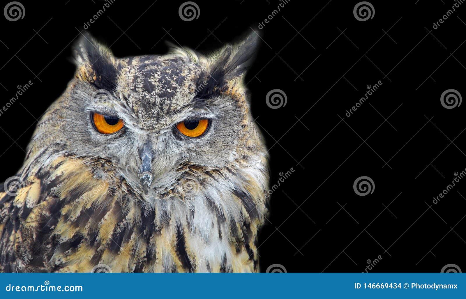 Bird of prey eagle long eared owl birds isolated on black
