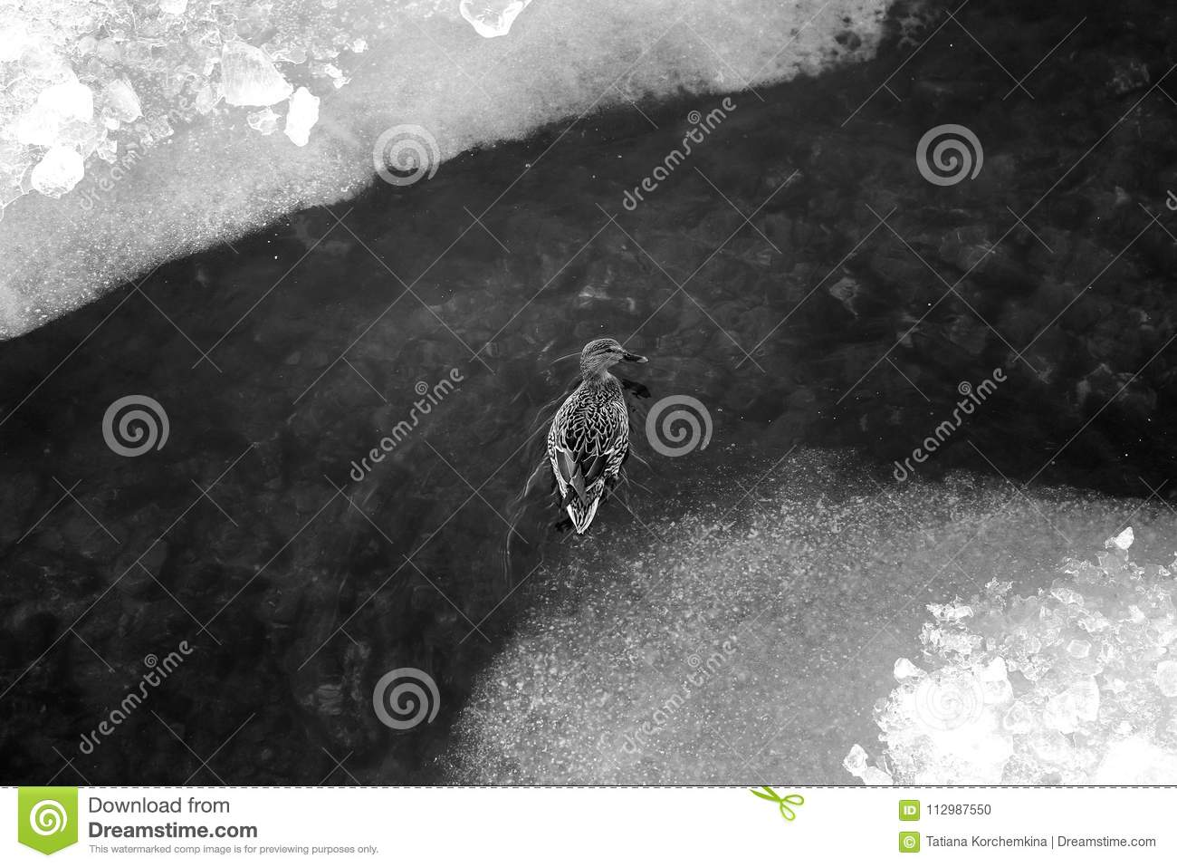 Photo of black and white ice floes and ducks