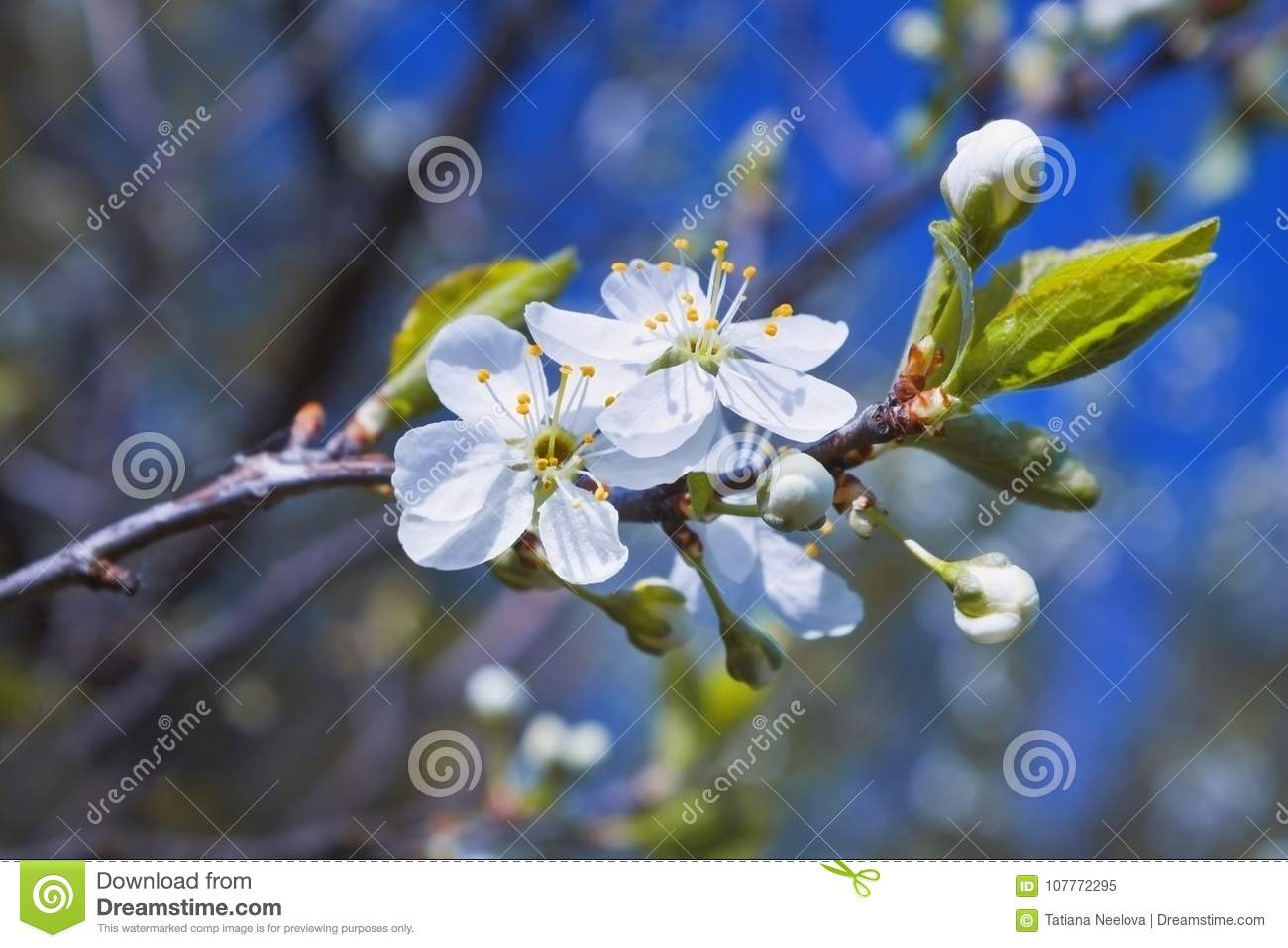 A photo of blooming apple tree on the blue sky. Background for Tu Bishvat greeting card or poster for new year of trees. Jewish ho