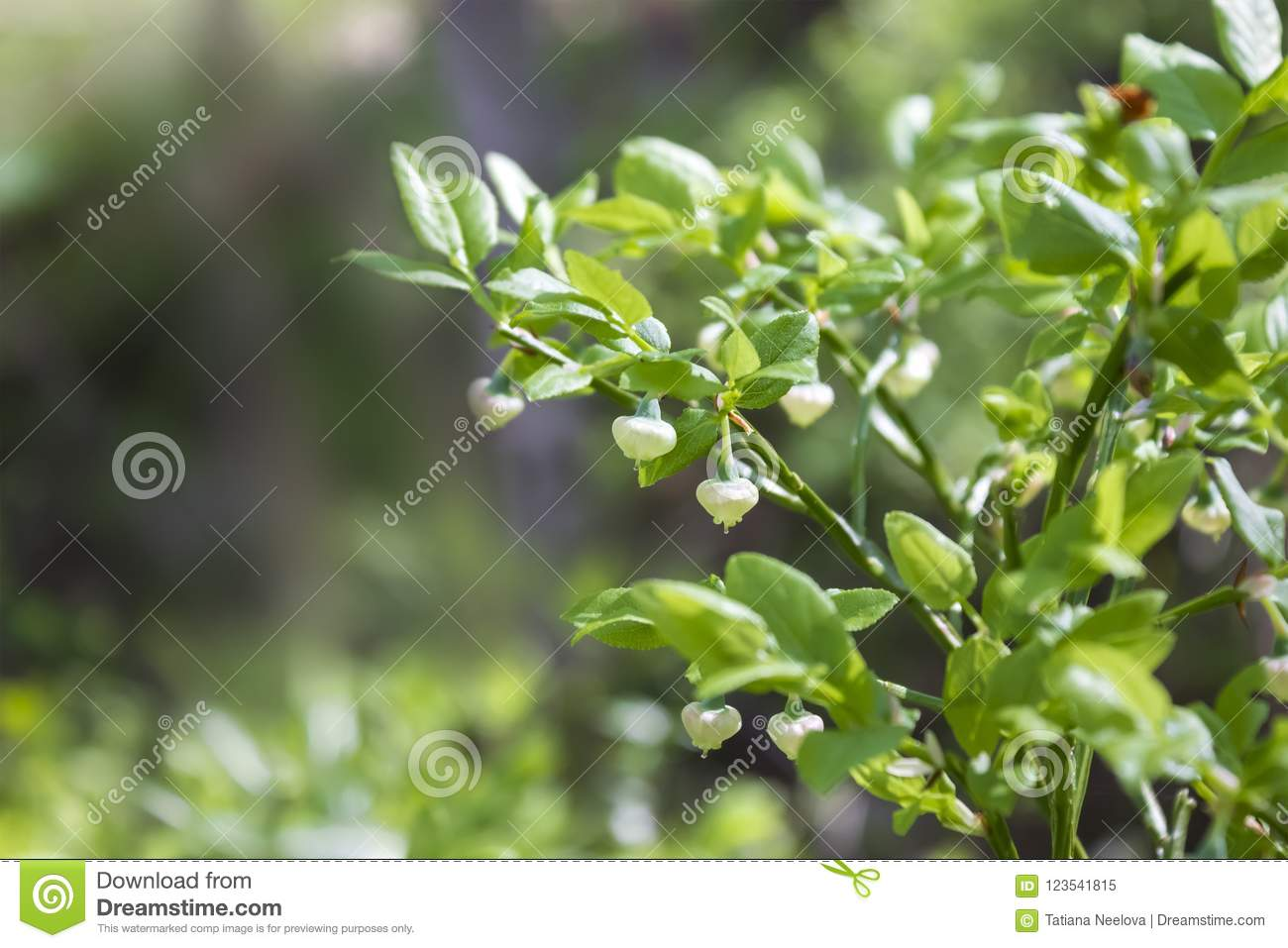 A photo of blueberry, Vaccinium uliginosum, flowers in the spring forest. Sunny day and wild green young blooming bilberries in ea