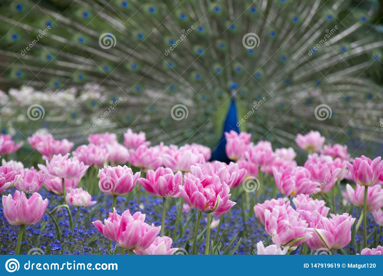 Photo of blured peacock with flowers