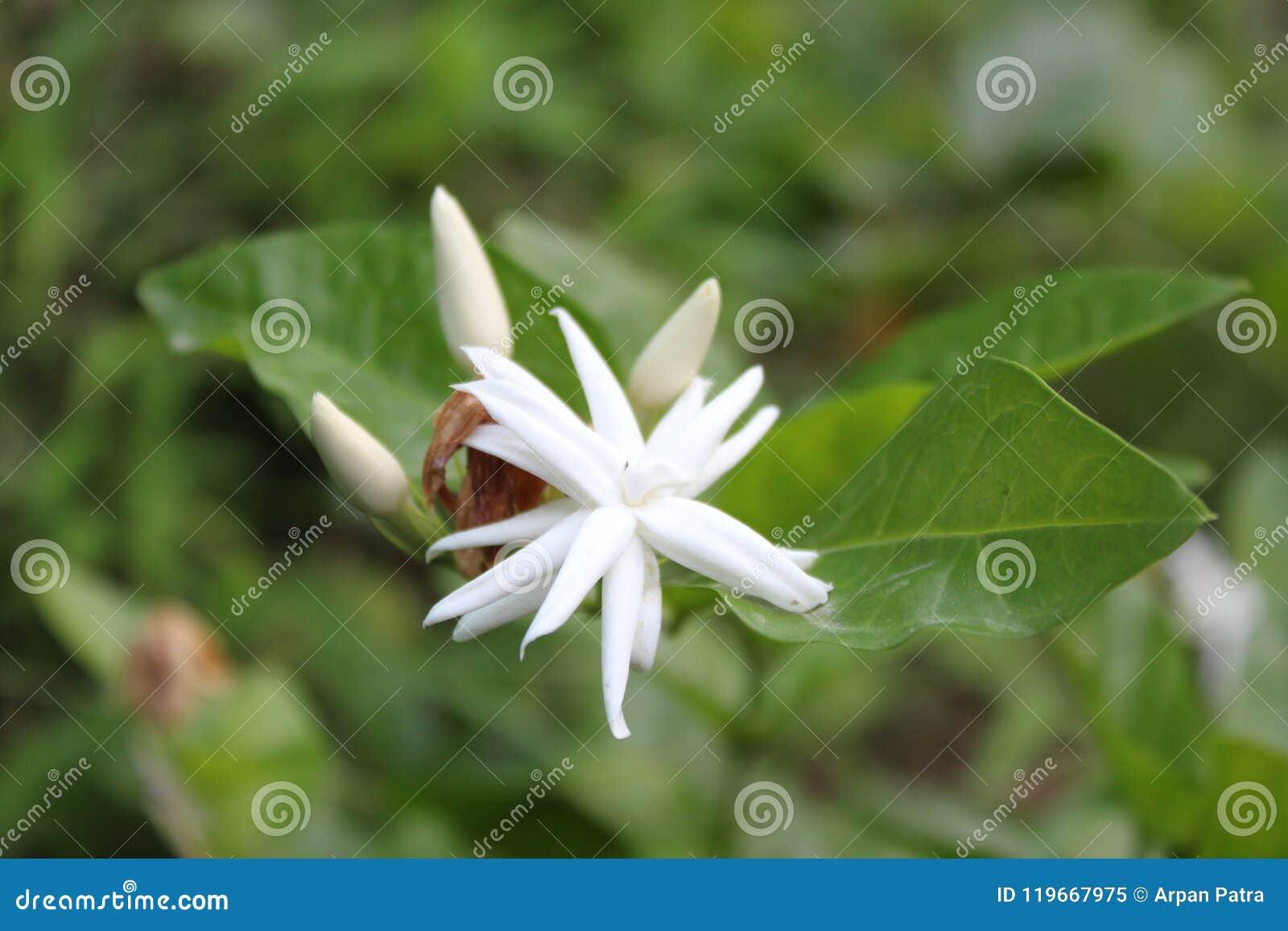 Photo Bonjour De Fleur De Jasmin Image Stock Image Du Normal