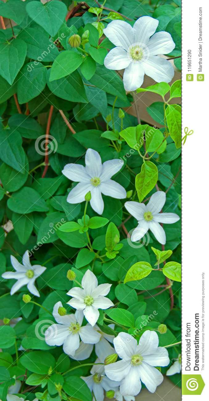 Climbing White Clematis Stock Photo Image Of Clematis 119651290