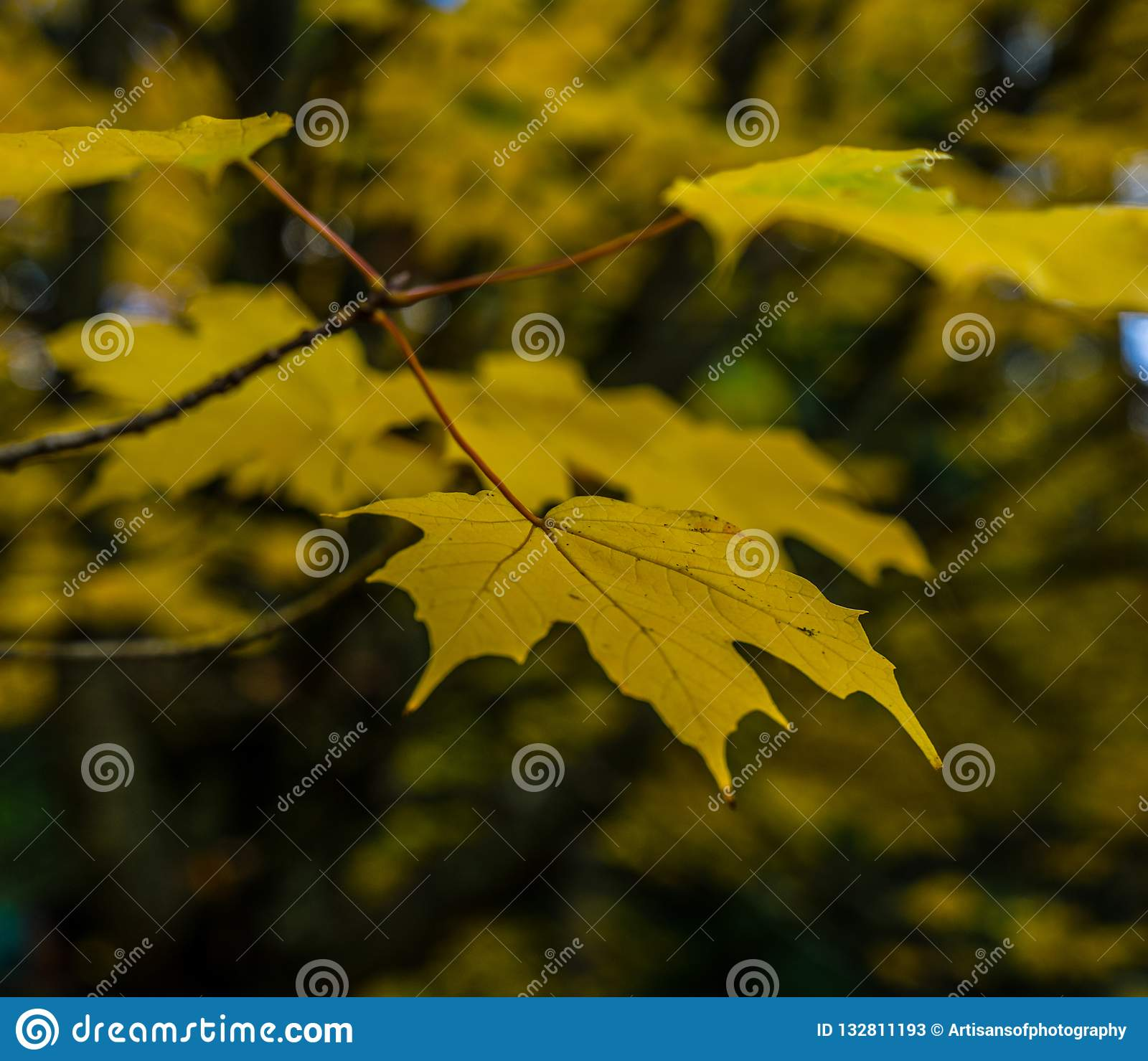 Closeup of yellow maple tree leaf in Autumn / Fall