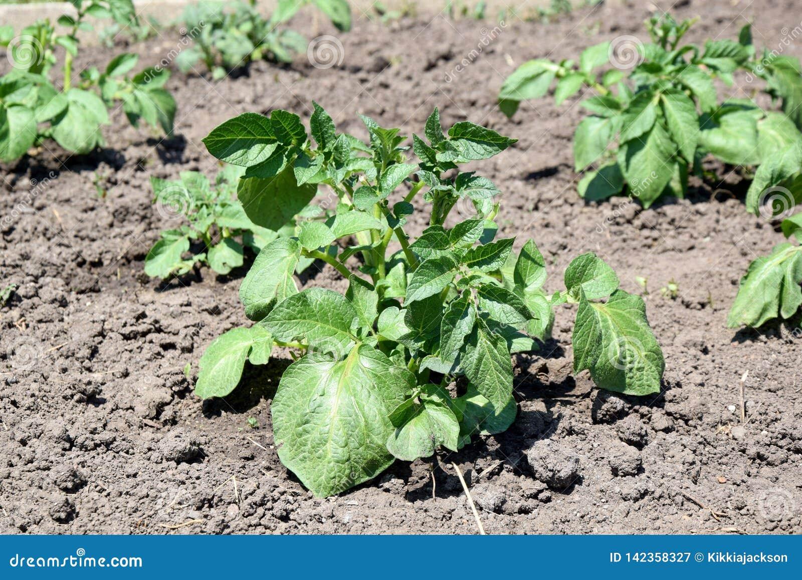 Photo courante de plantation de jardinage de maison de solanum tuberosum de plante de pomme de terre