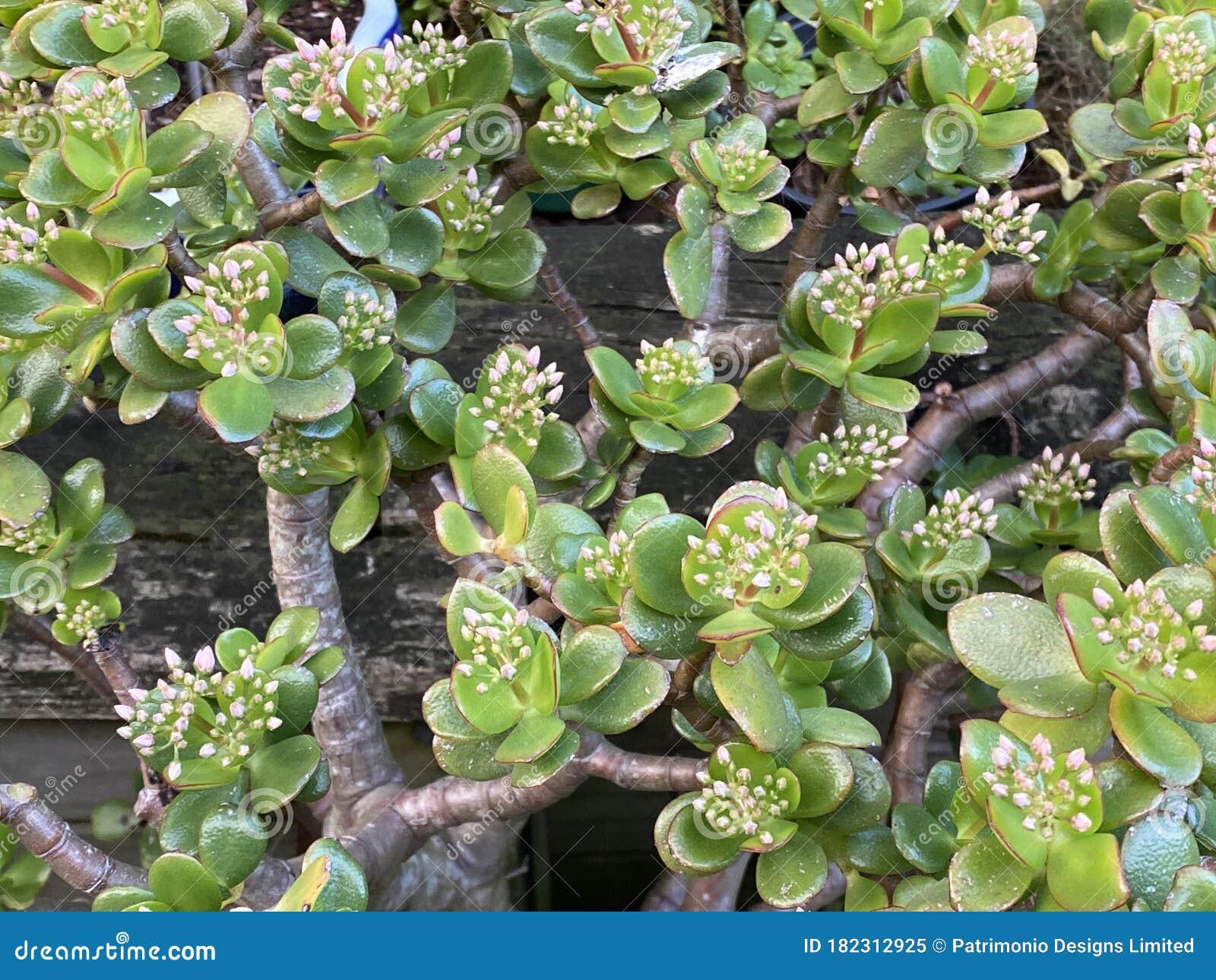 Crassula ovata, jade plant, lucky plant, money plant Photo