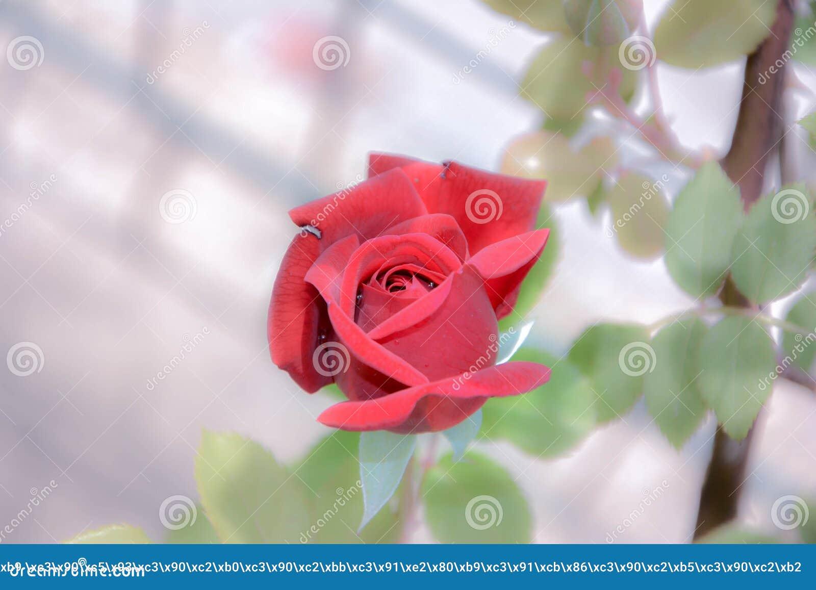 Photo D Image D Une Belle Fleur Rose Avec Un Bourgeon Rouge Avec Des