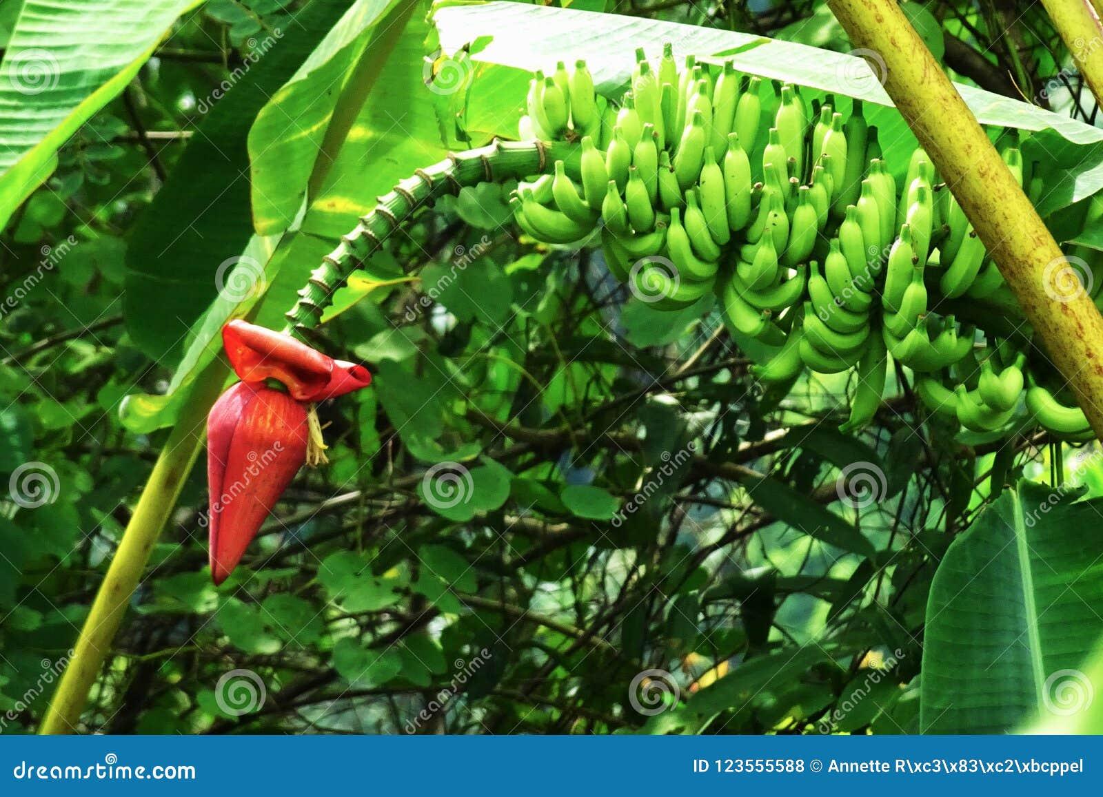 photo d'un bananier vert avec une fleur rouge dans un jardin dans