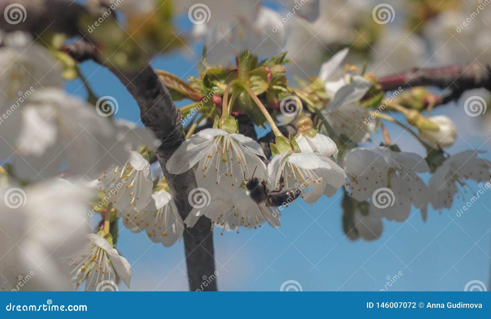 Photo de cerisier de floraison avec l abeille