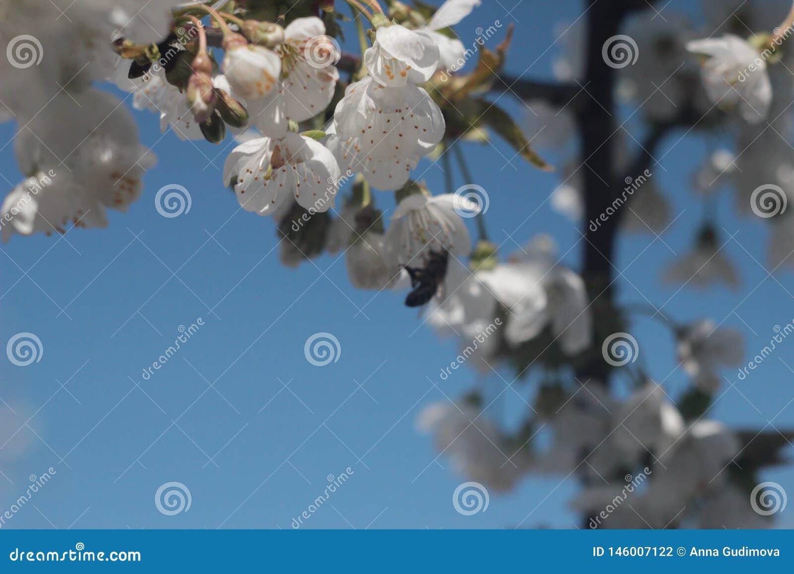 Photo de cerisier de floraison