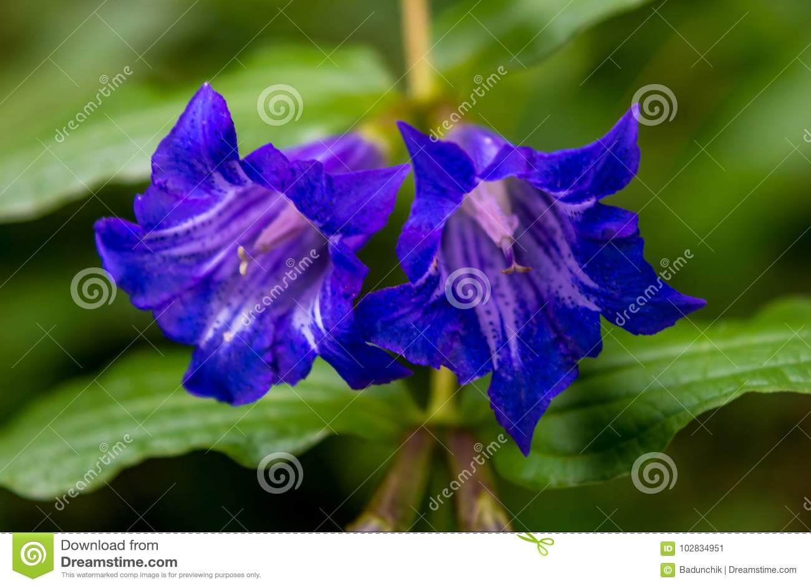 Photo De Fleur Sauvage Violette Bleue En Montagnes Carpathiennes