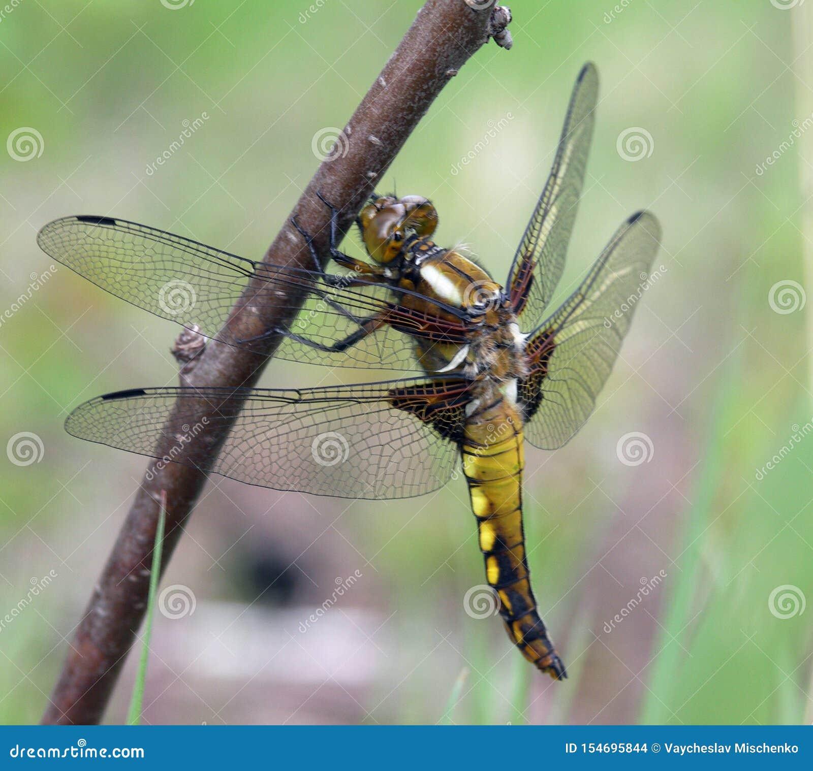 Photo de macro de libellule