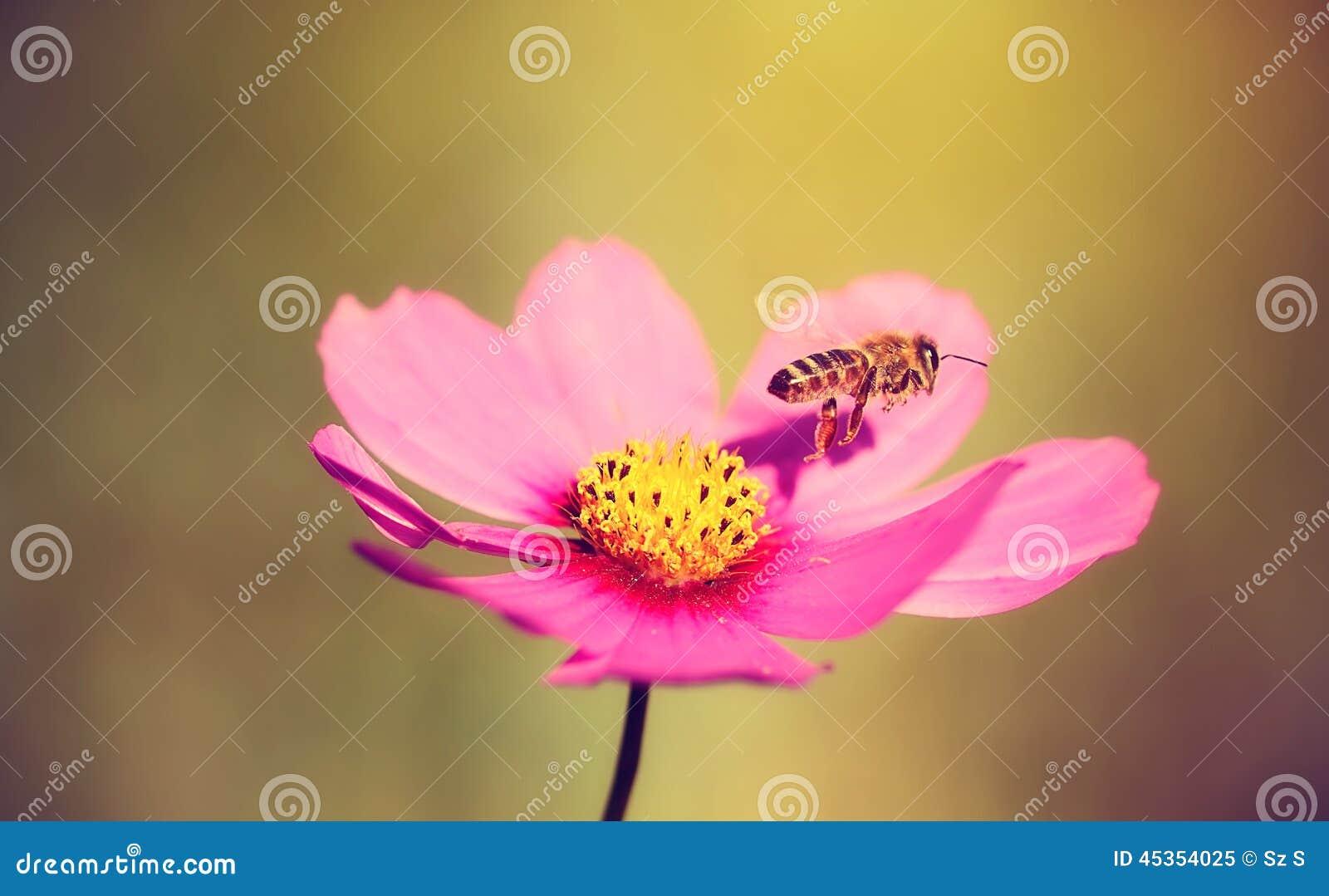 Photo de plan rapproché d une abeille et d une fleur de miel