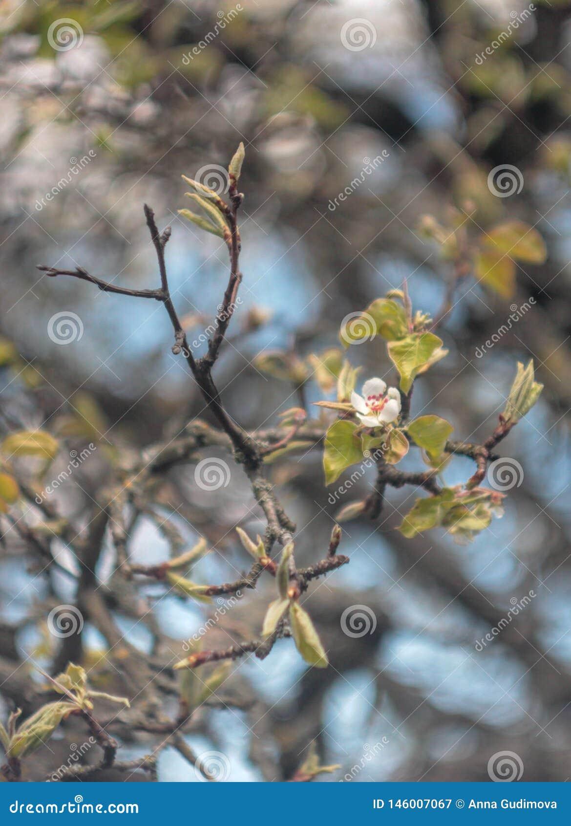 Photo de poirier de floraison