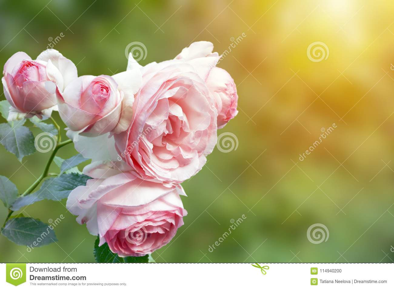 A photo of english pink pale rose bush in the summer garden. Rose shrub in the park, outdoor. Sunshine beams with selective soft f