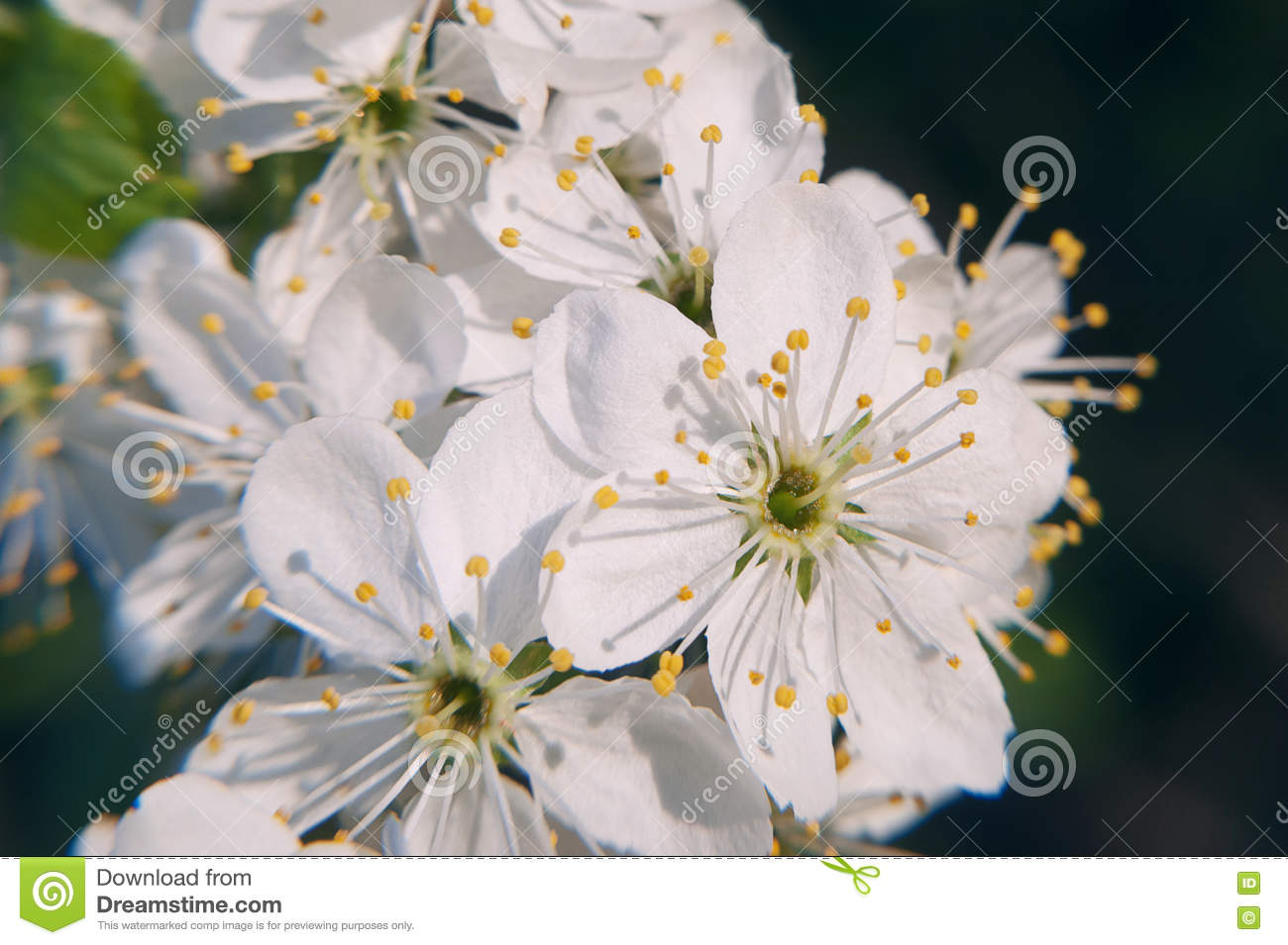 Photo Of The Flowering Crabapple Tree With White Flowers And Yellow