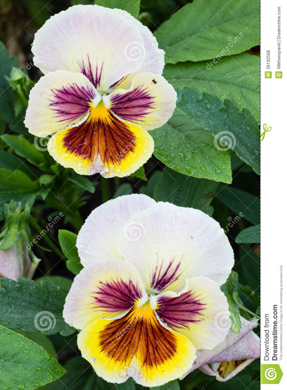 Photo of garden flowers pansy