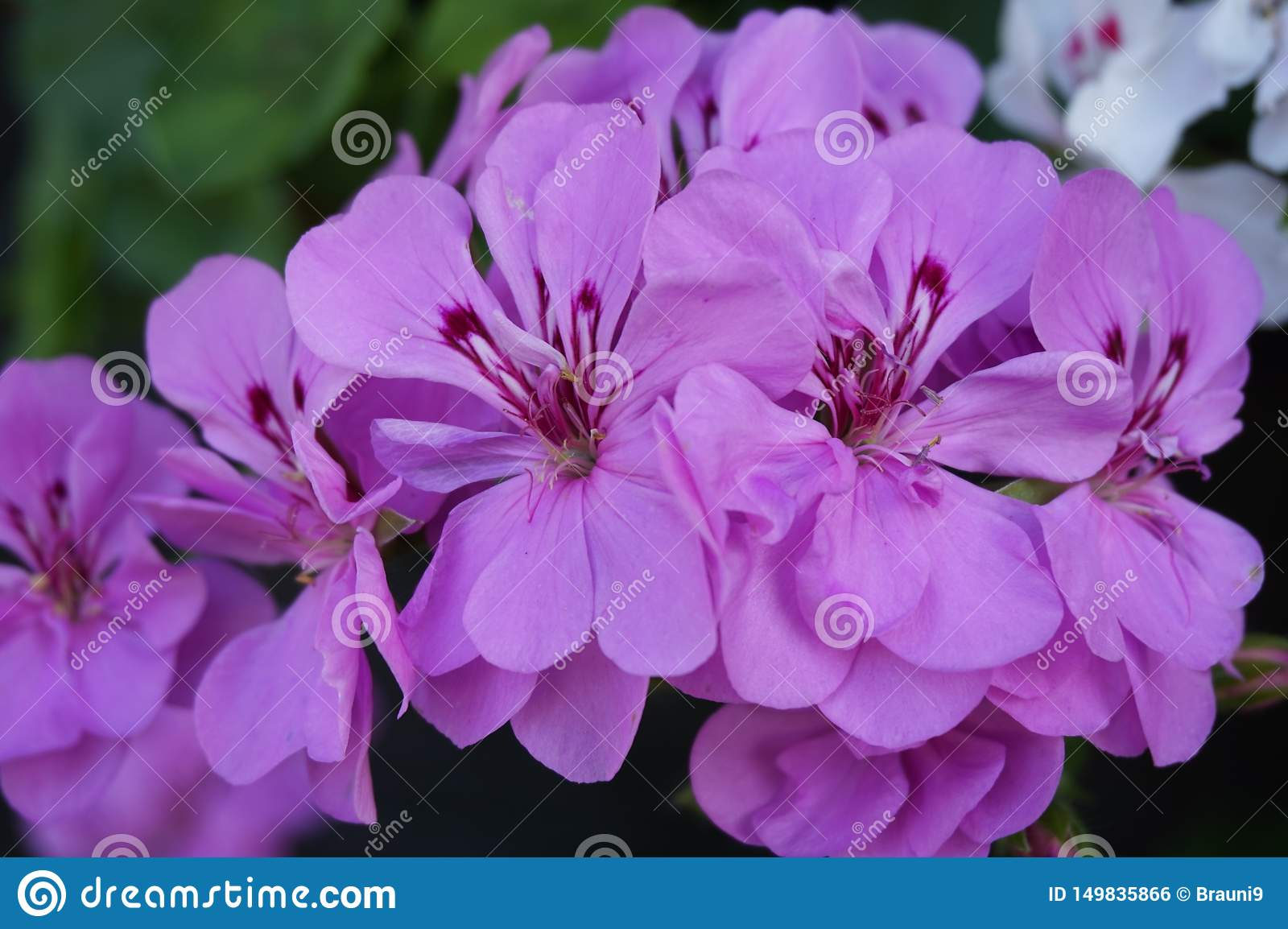 Photo of geranium group bright cerise pink flowers.