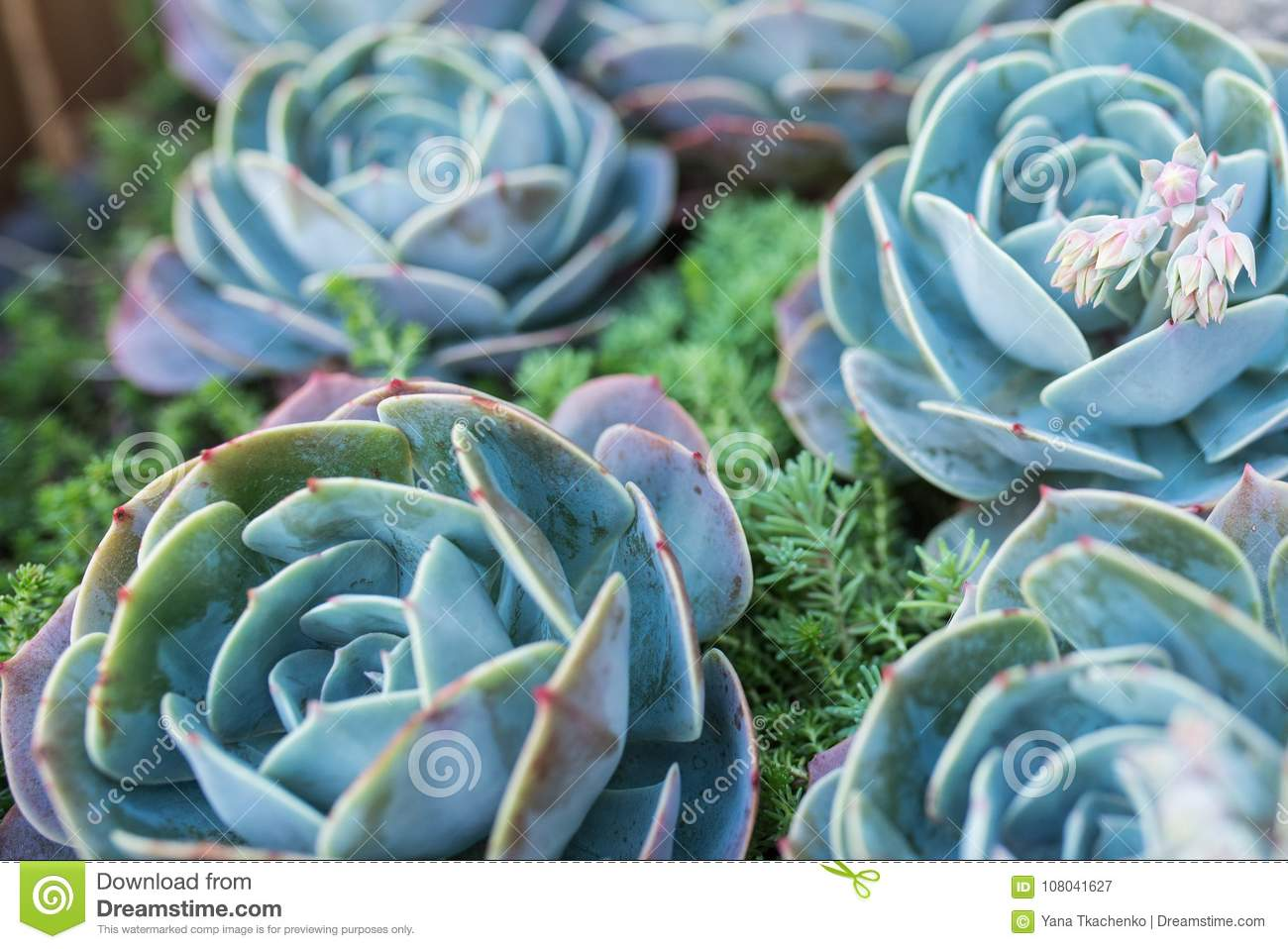 Photo Of Green And Blue Succulent Some Succulents Out Of Focus Stock Image Image Of Succulent Bloom 108041627