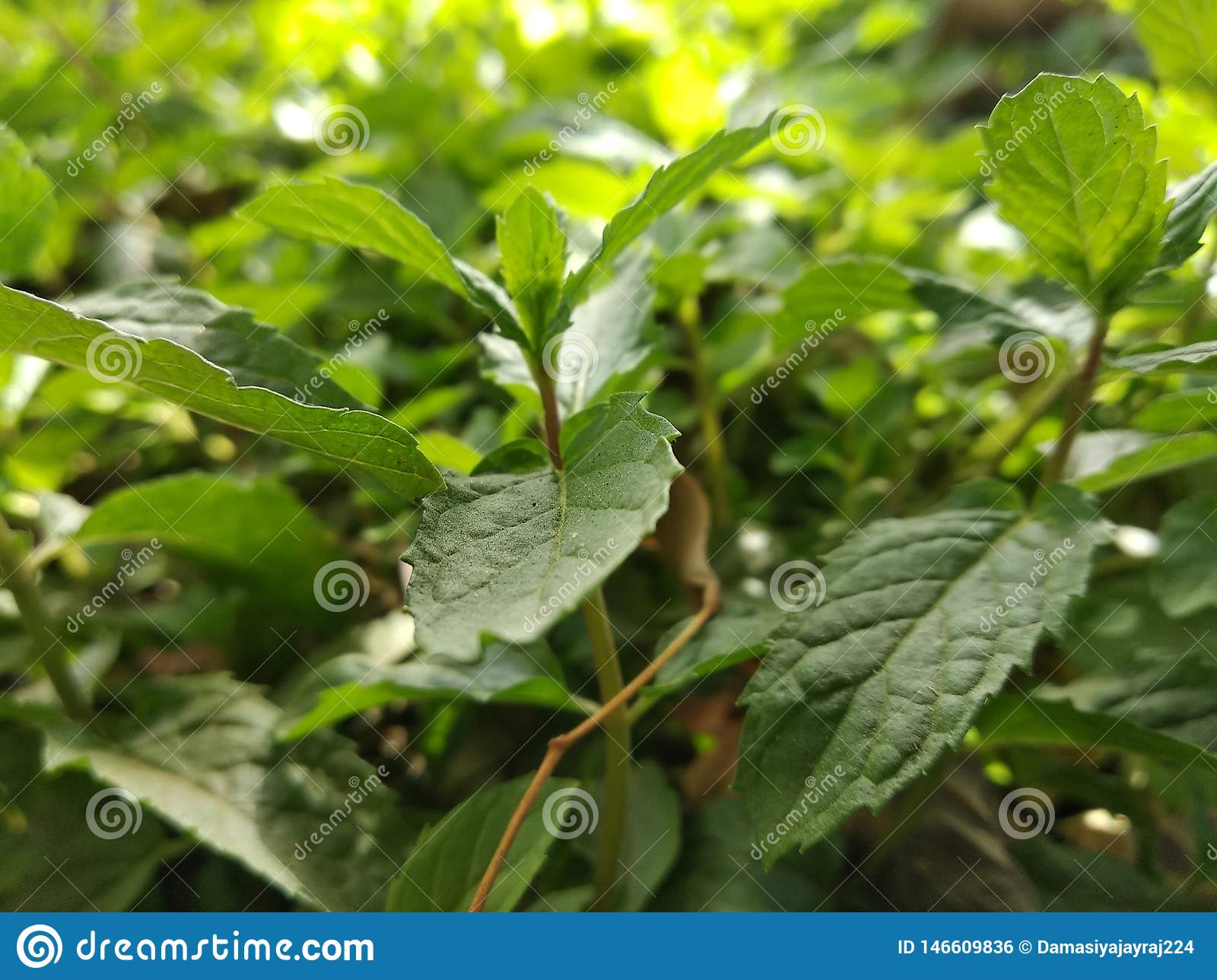 Green leaves of mint plant