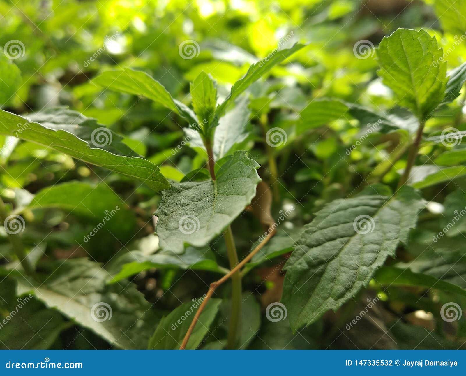 Mint : Benifit,risk,diet and nutrition