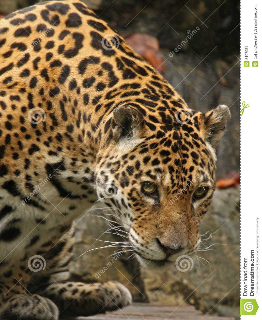 Male Jaguar: A Photo Of A Male Jaguar Stock Image. Image Of Hunting