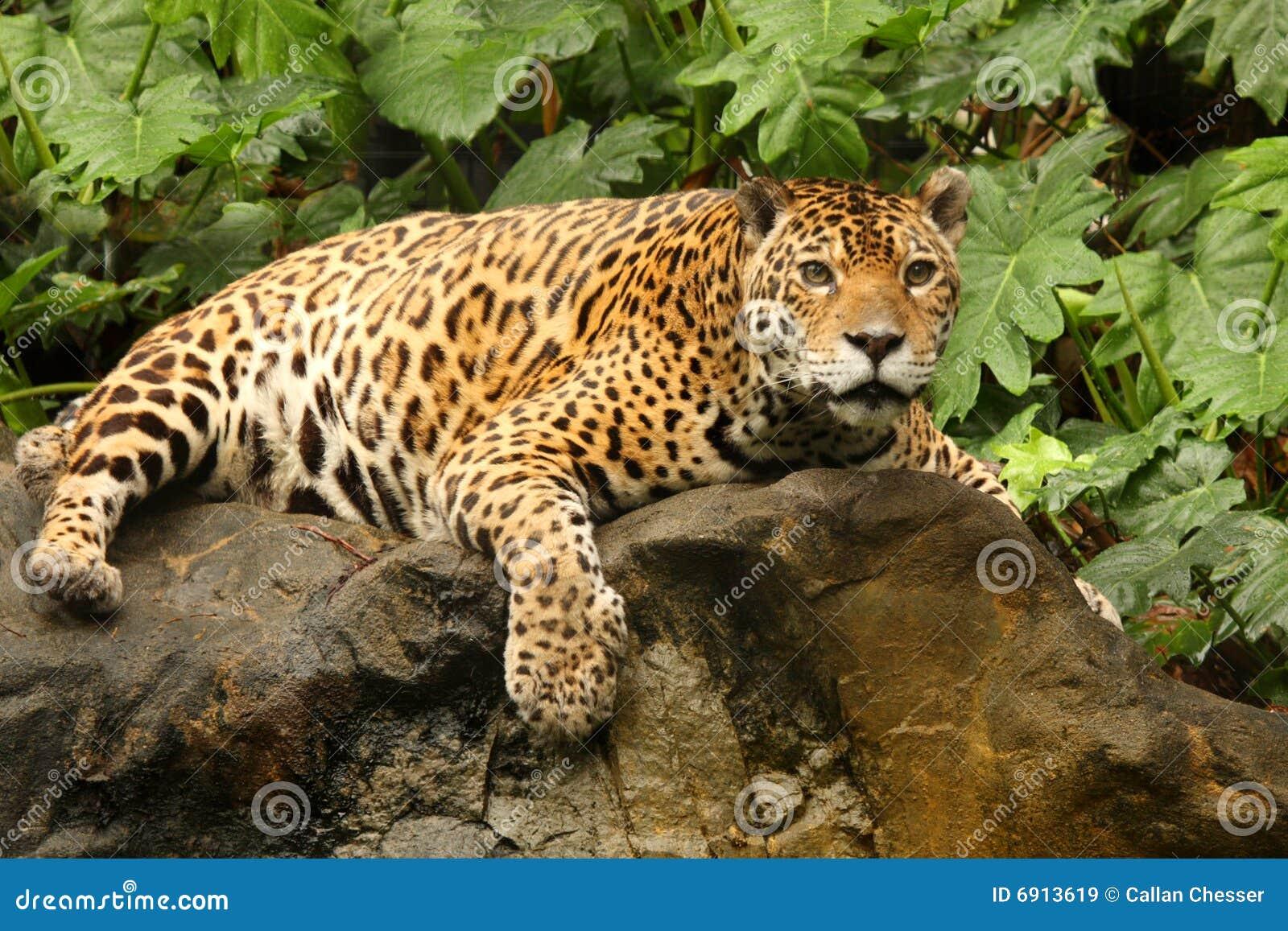 A photo of a male jaguar