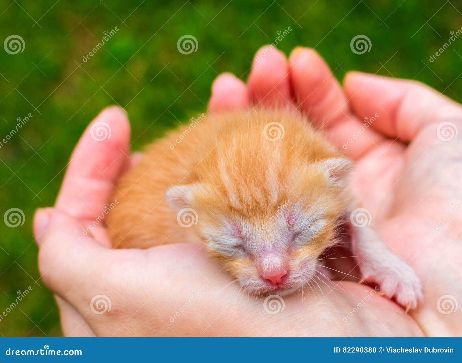 Photo mignonne de fin de chat de bébé Beau minou dormant dans des mains