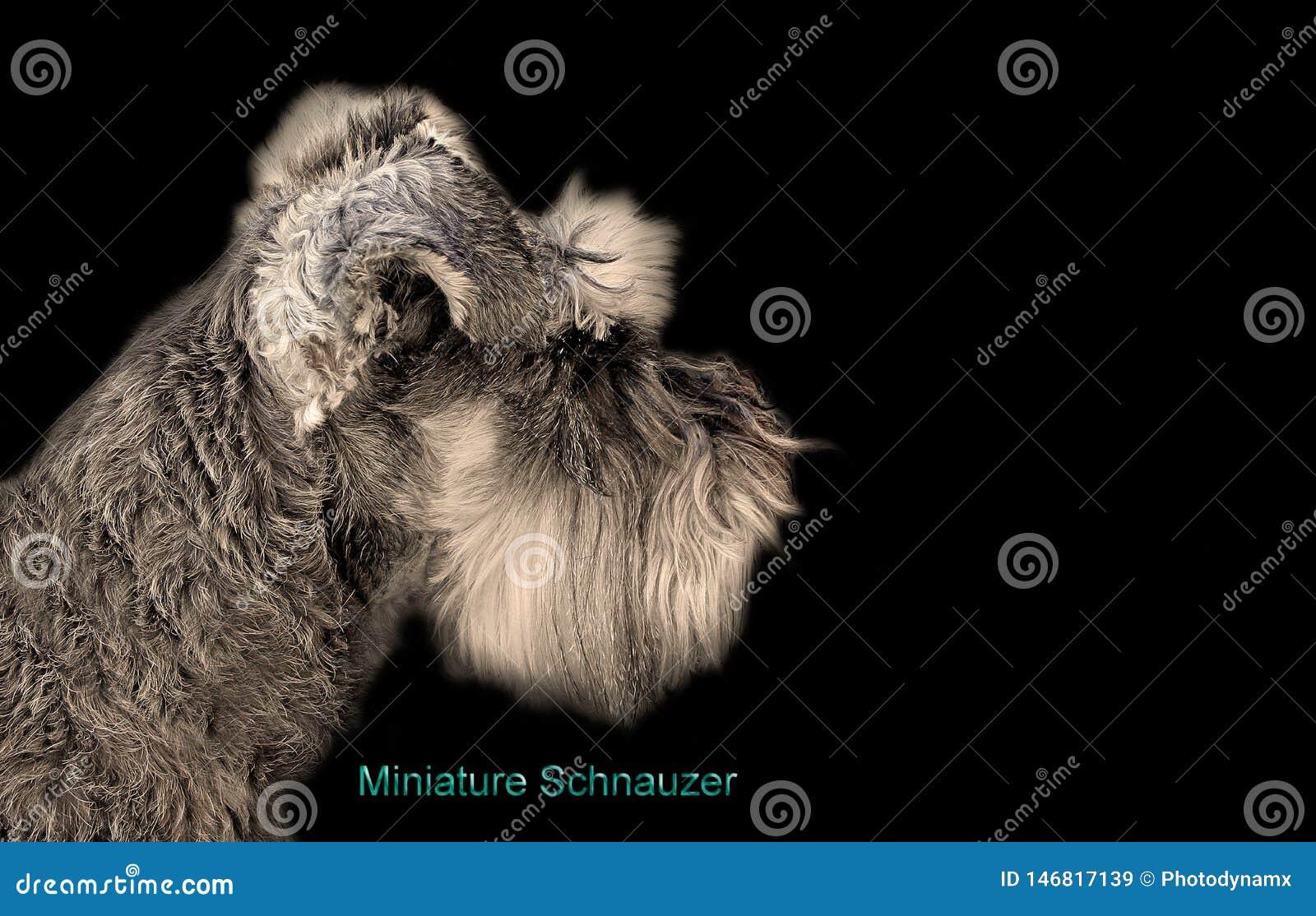 Pedigree miniature schnauzer dog business card isolated on black