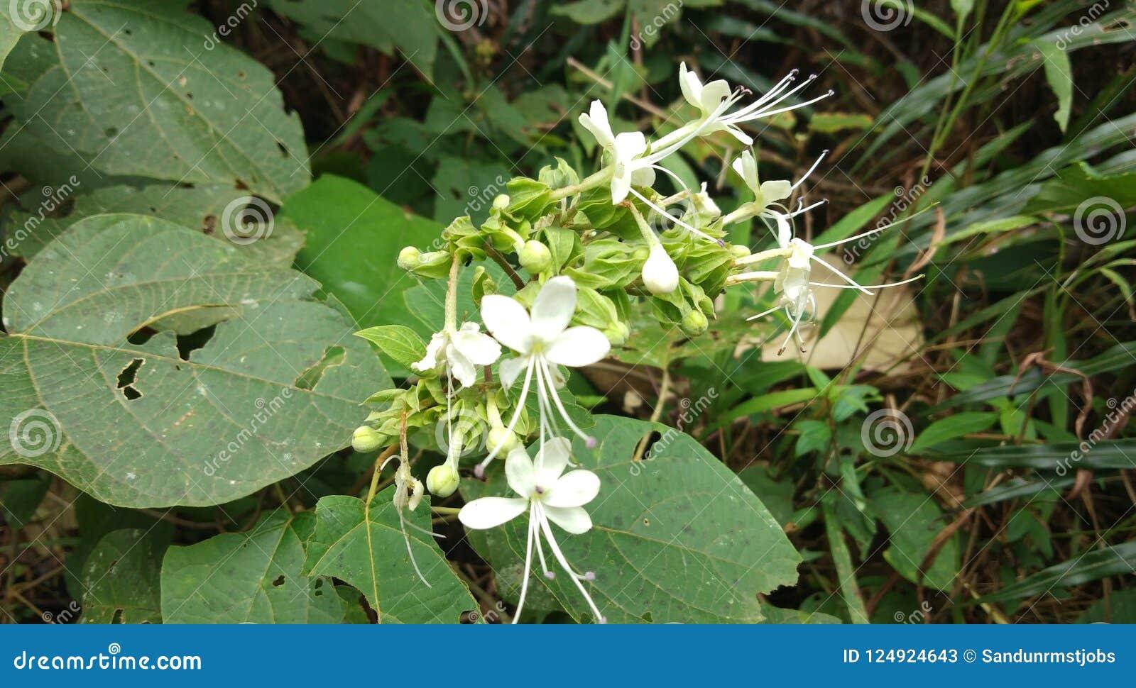 Download Beautiful Flowers In Sri Lanka Stock Image Image Of Bodhi
