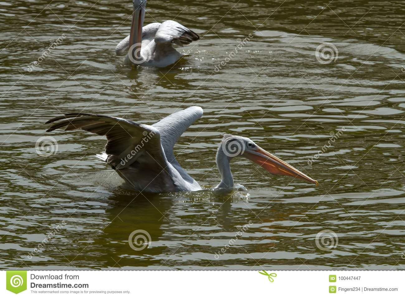 Photo of a Pink backed Pelican