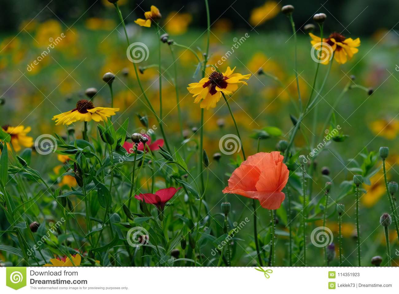 Photo Of A Pink Poppy In A Field Of Wild Flowers Taken On A Sunny
