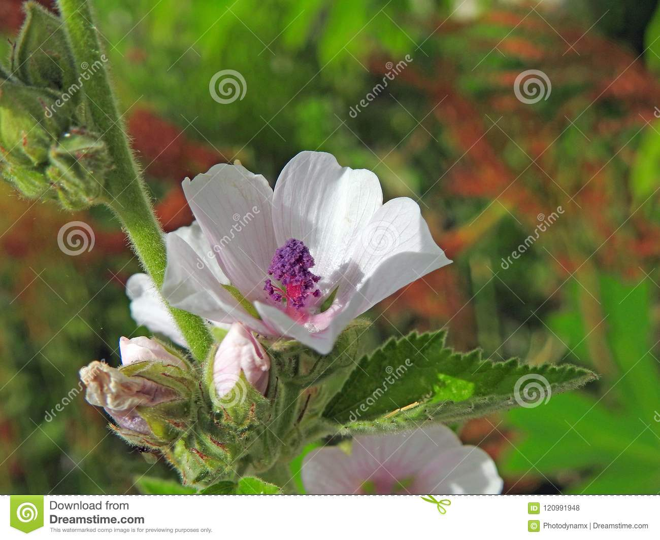 Pretty Summer Delicate Roses Stock Photo Image Of Grounds Mallow