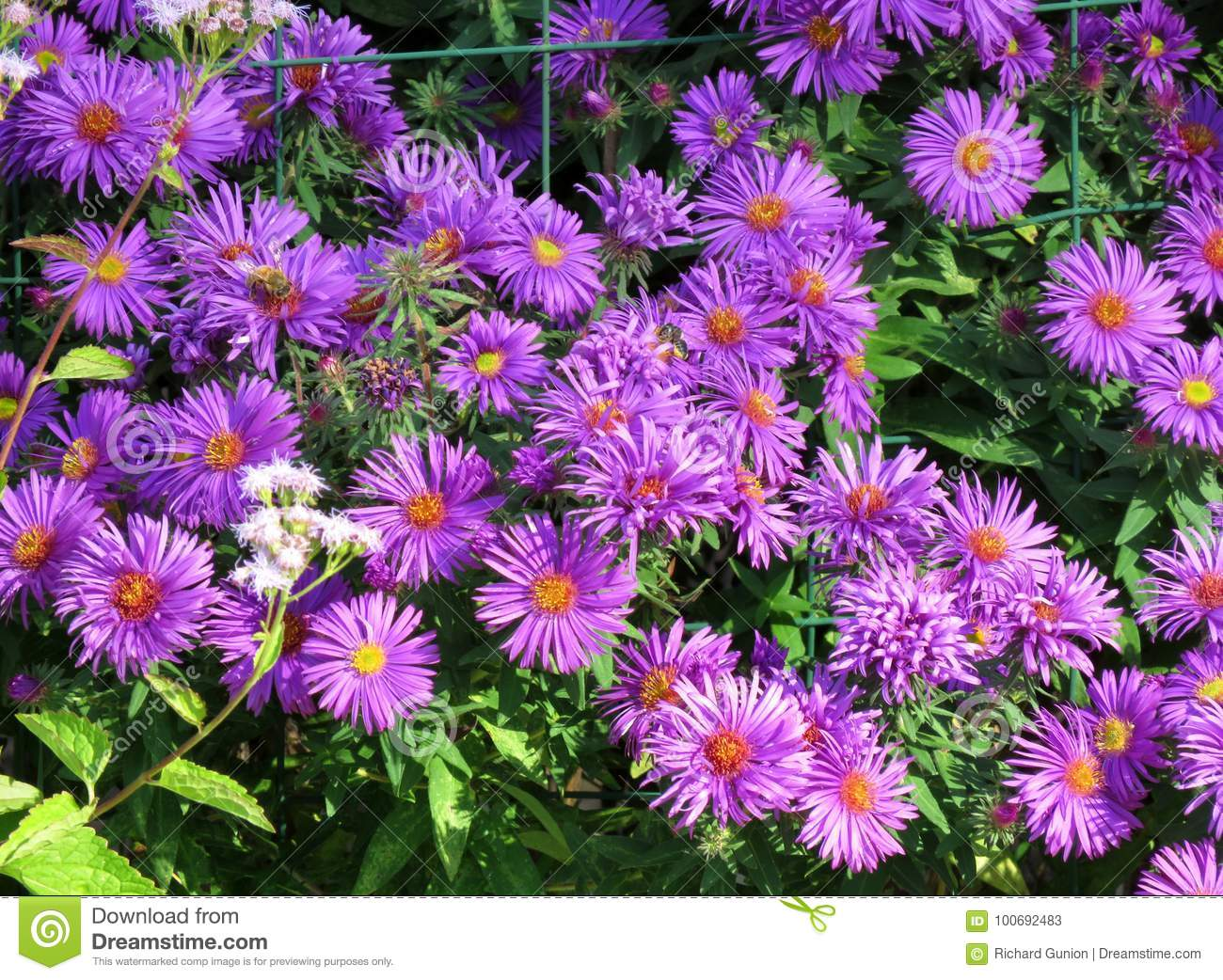 Pretty Purple September Flowers Stock Image Image Of Flowers