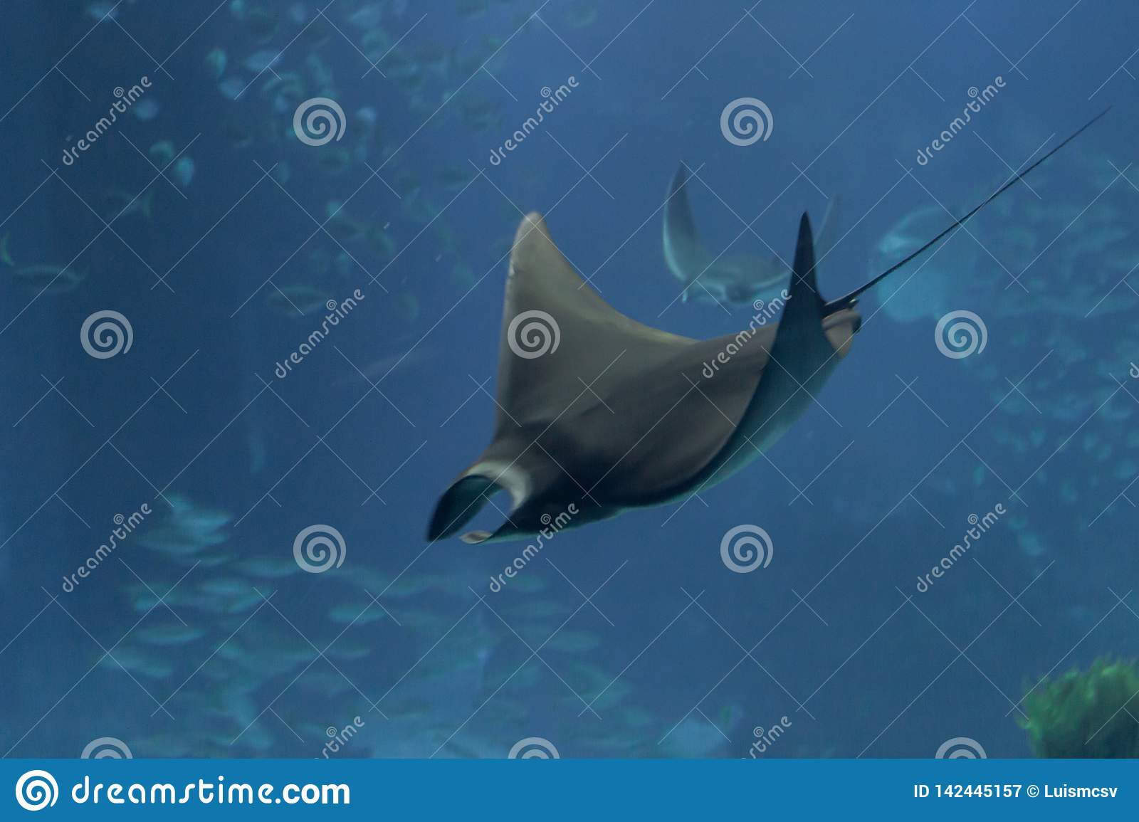 Photo of a ray swimming